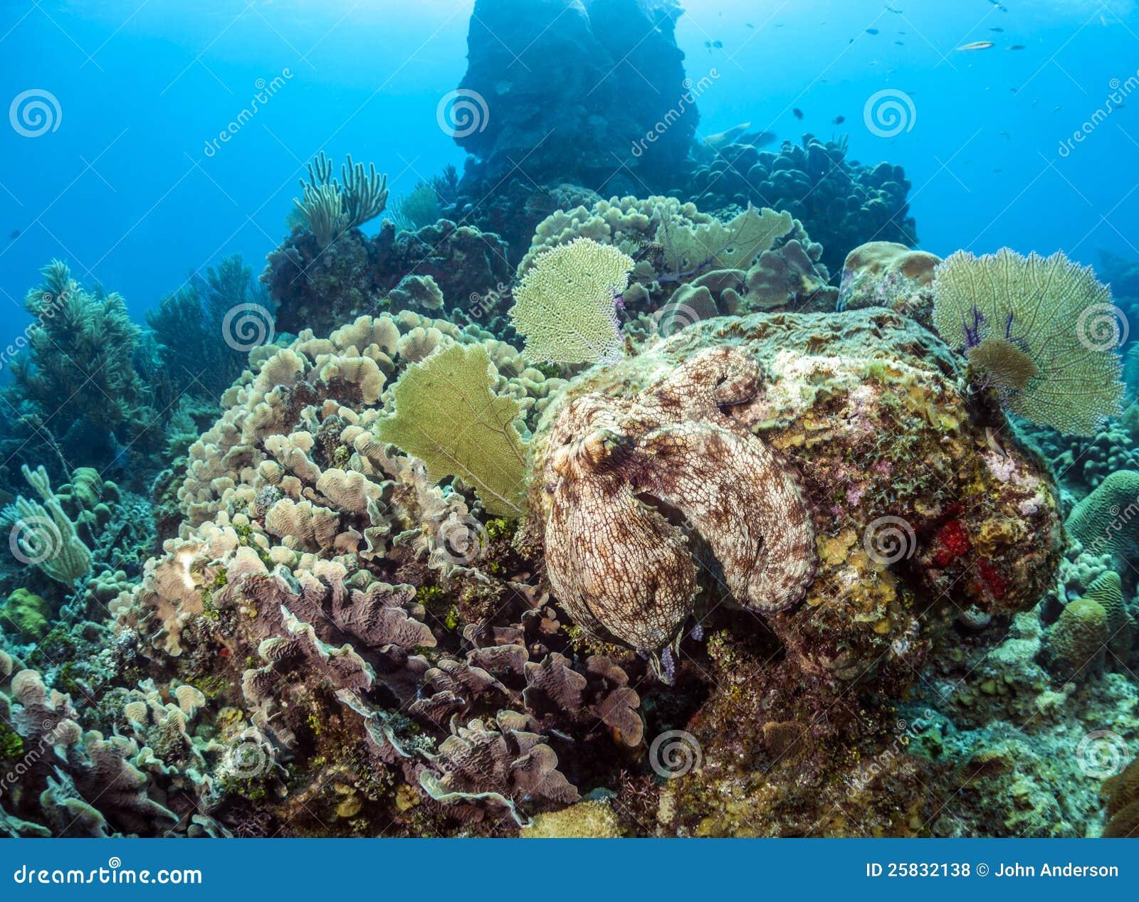 Caribbean Reef Octopus (Octopus Briareus) I Royalty Free Stock ...
