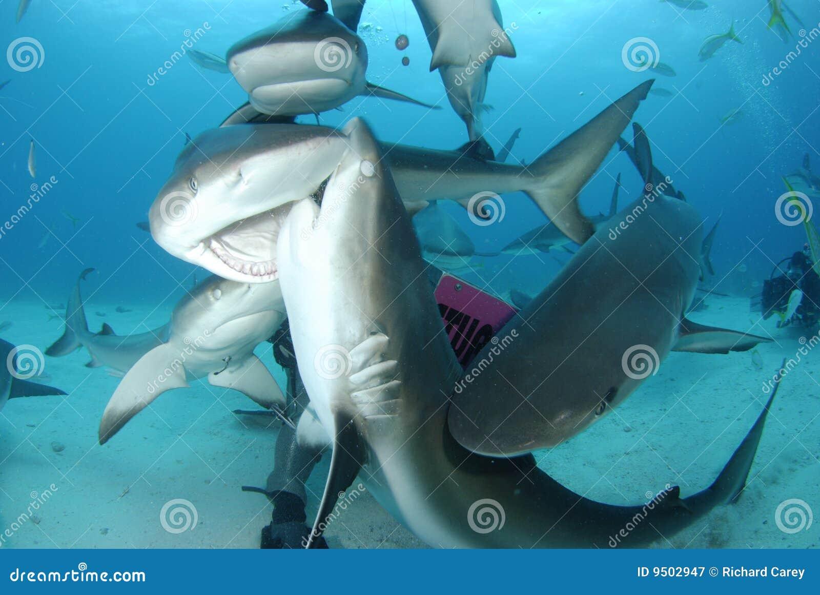 Caribbean Reef Shark stock  Image of fish, blue
