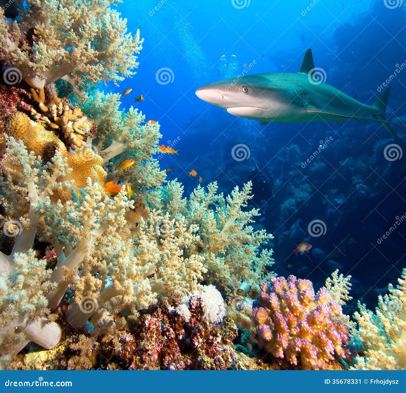 Caribbean reef shark stock image image 35678331 for Caribbean reef fish