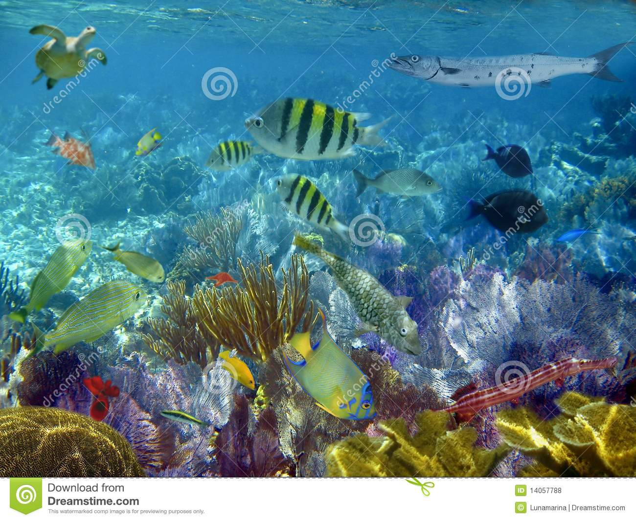 Caribbean reef tropical fishes underwater royalty free for Caribbean reef fish