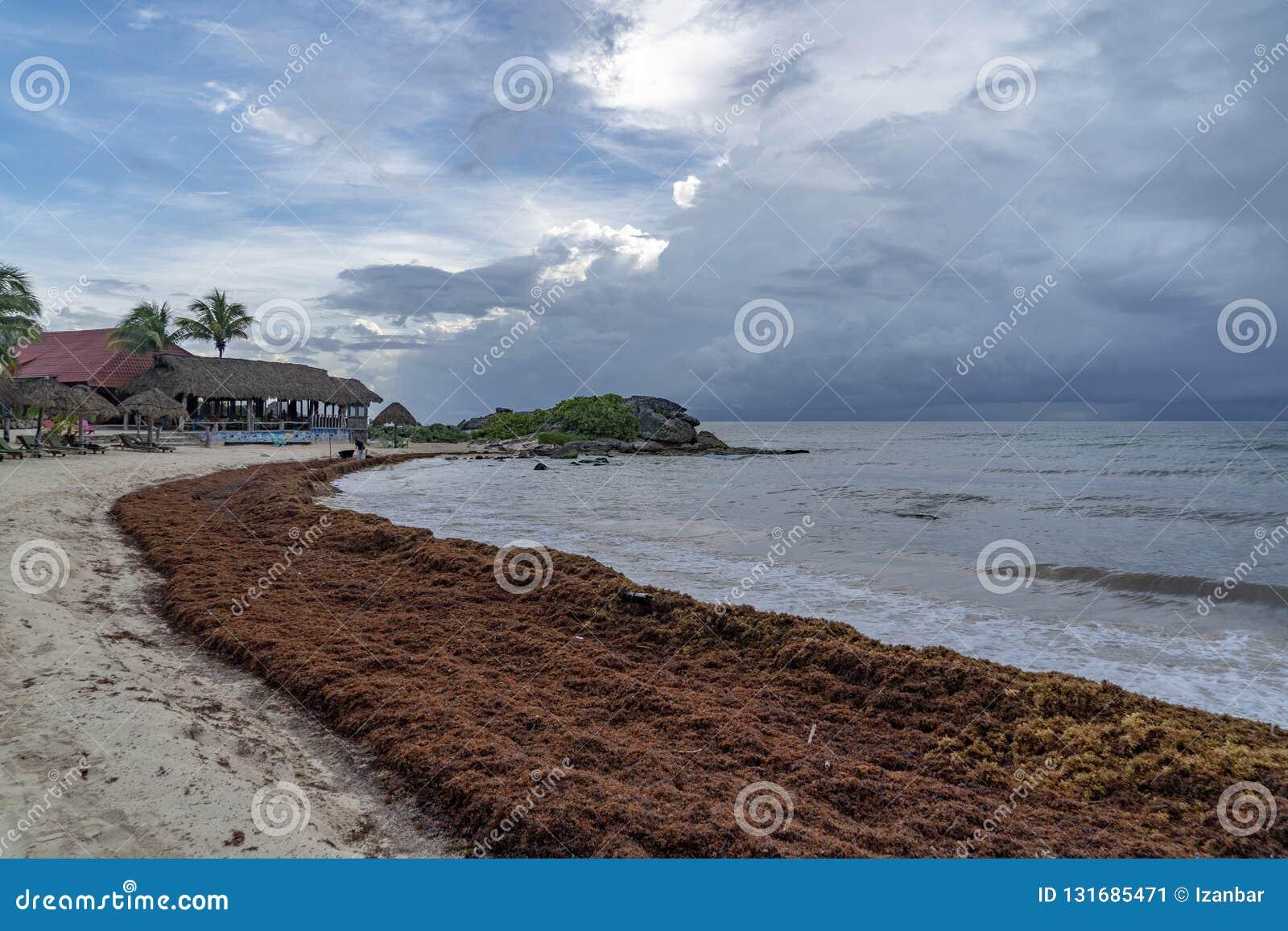 Caribbean Sandy Beach Covered By Sargasso Algae Seaweed In