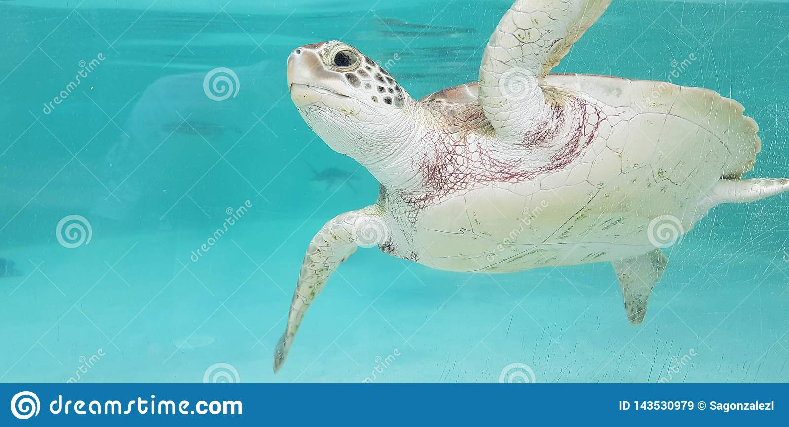 Caribbean sea turtle in Mexico
