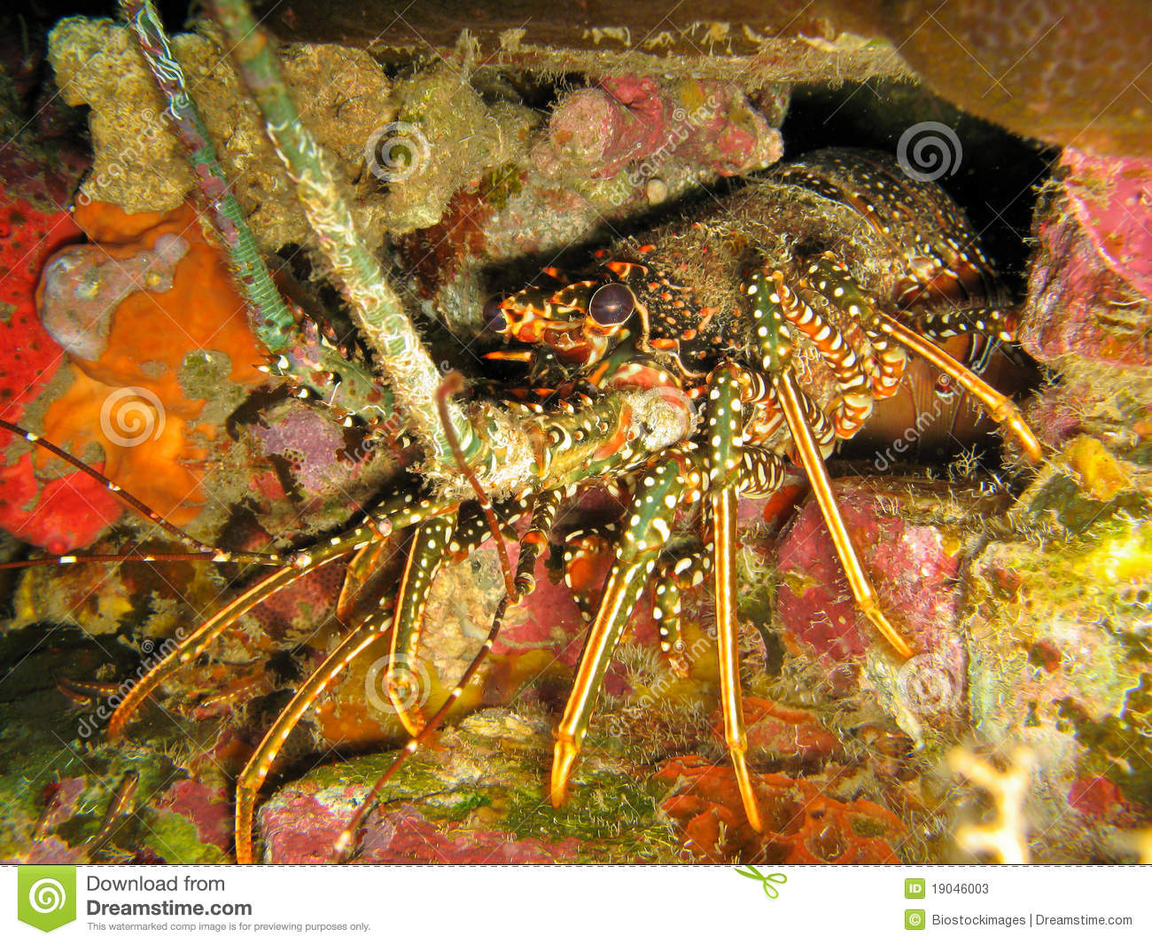 Caribbean Spiny Lobster Panulirus Argus In Den Stock Image - Image: 19046003