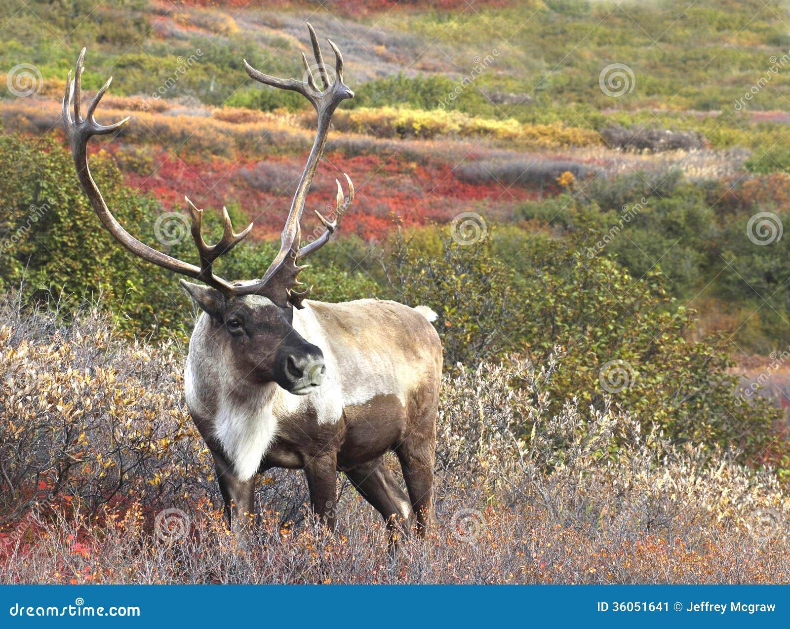 Cariboe μεταξύ Tundra πτώσης