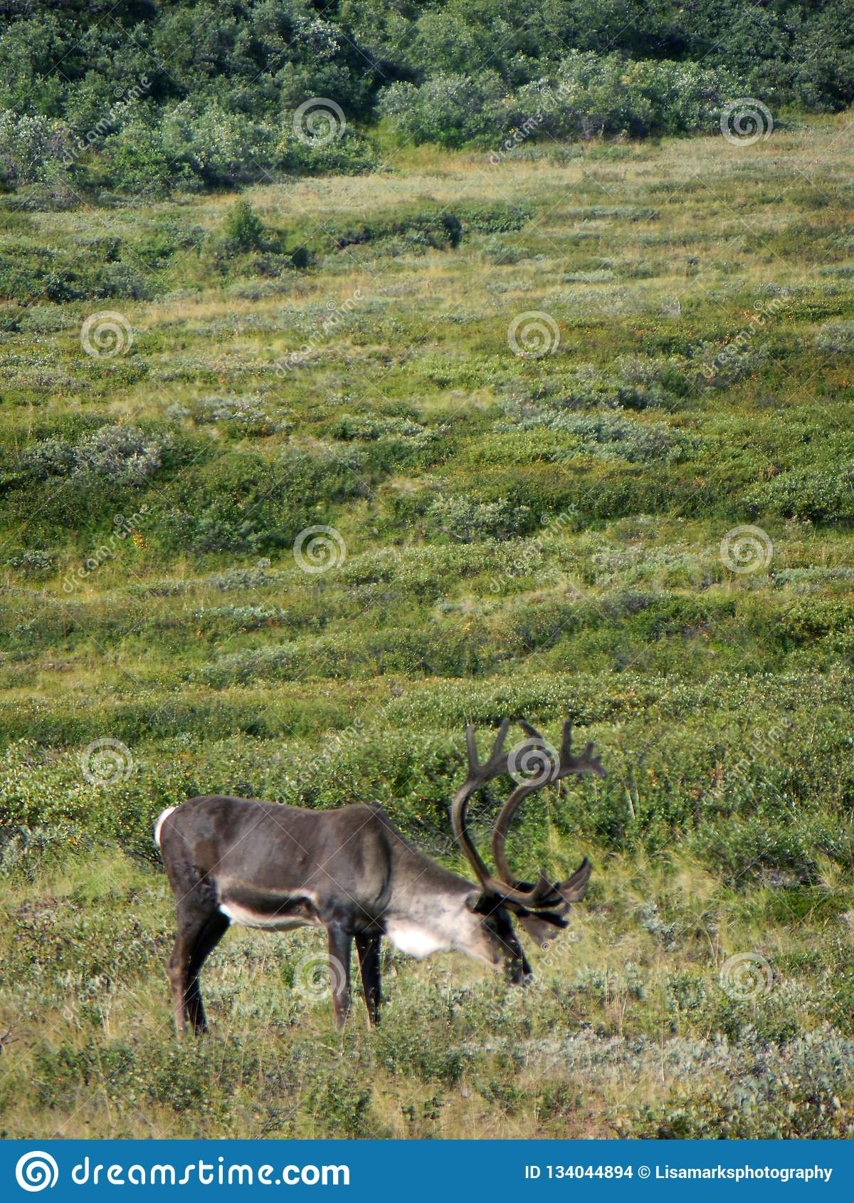 Caribu de Alaska - do parque nacional de Denali