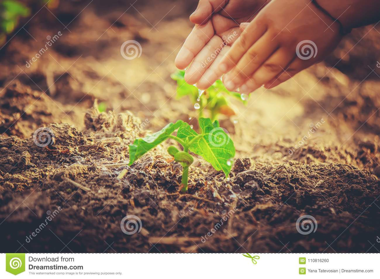 Caring for a new life. Watering young plants. The child`s hands.