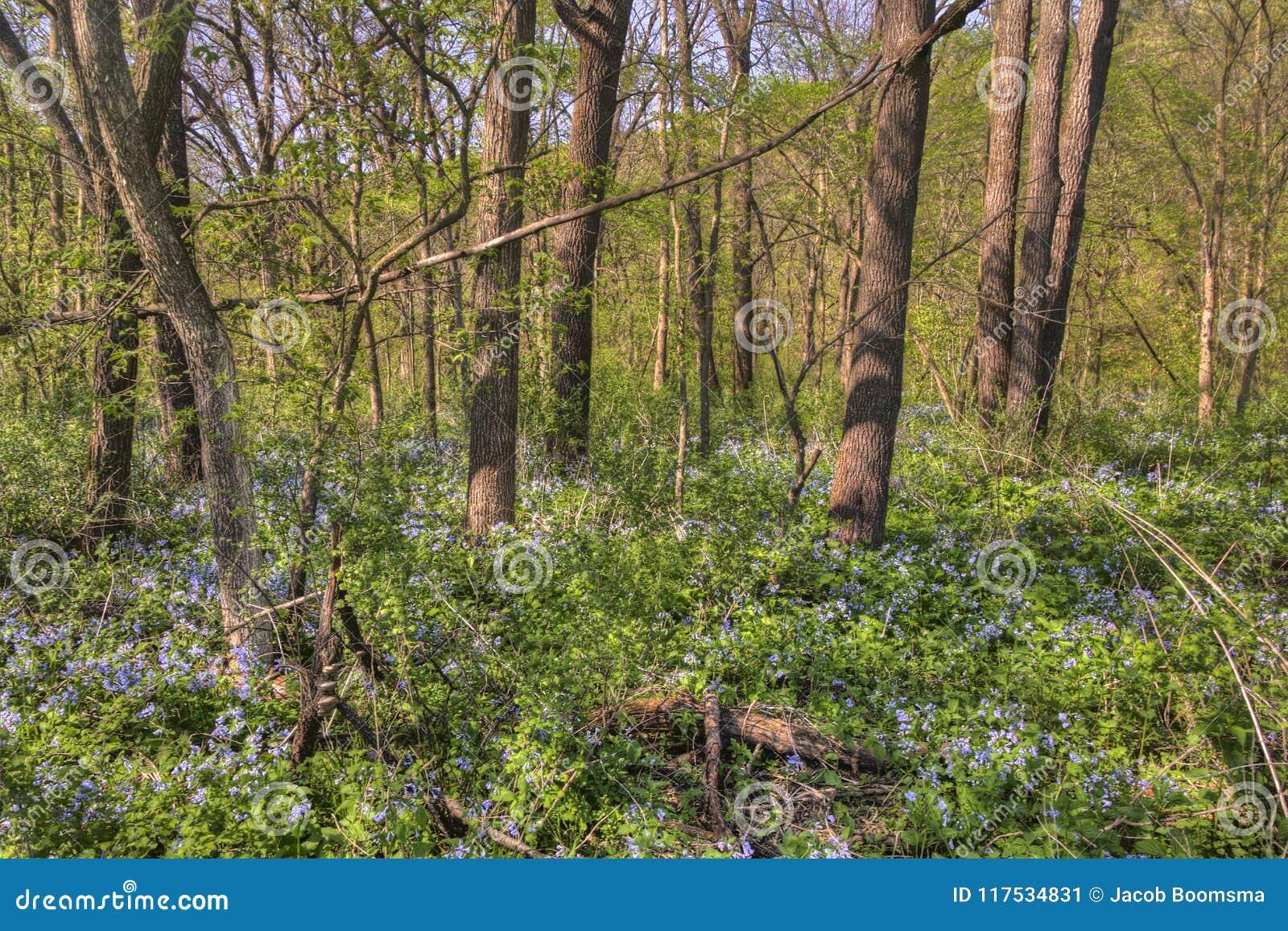 Carley State Park is een plattelandsgebiednoordwesten van Rochester, Minnesota met Klokjes in de recente Lente