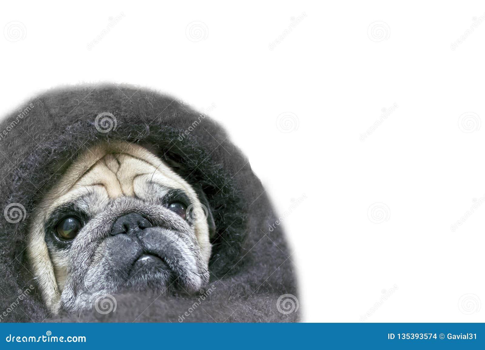 Carlino con uno sguardo triste, avvolto in uno scialle Isolato su priorità bassa bianca Copi lo spazio Coperta dello scialle del