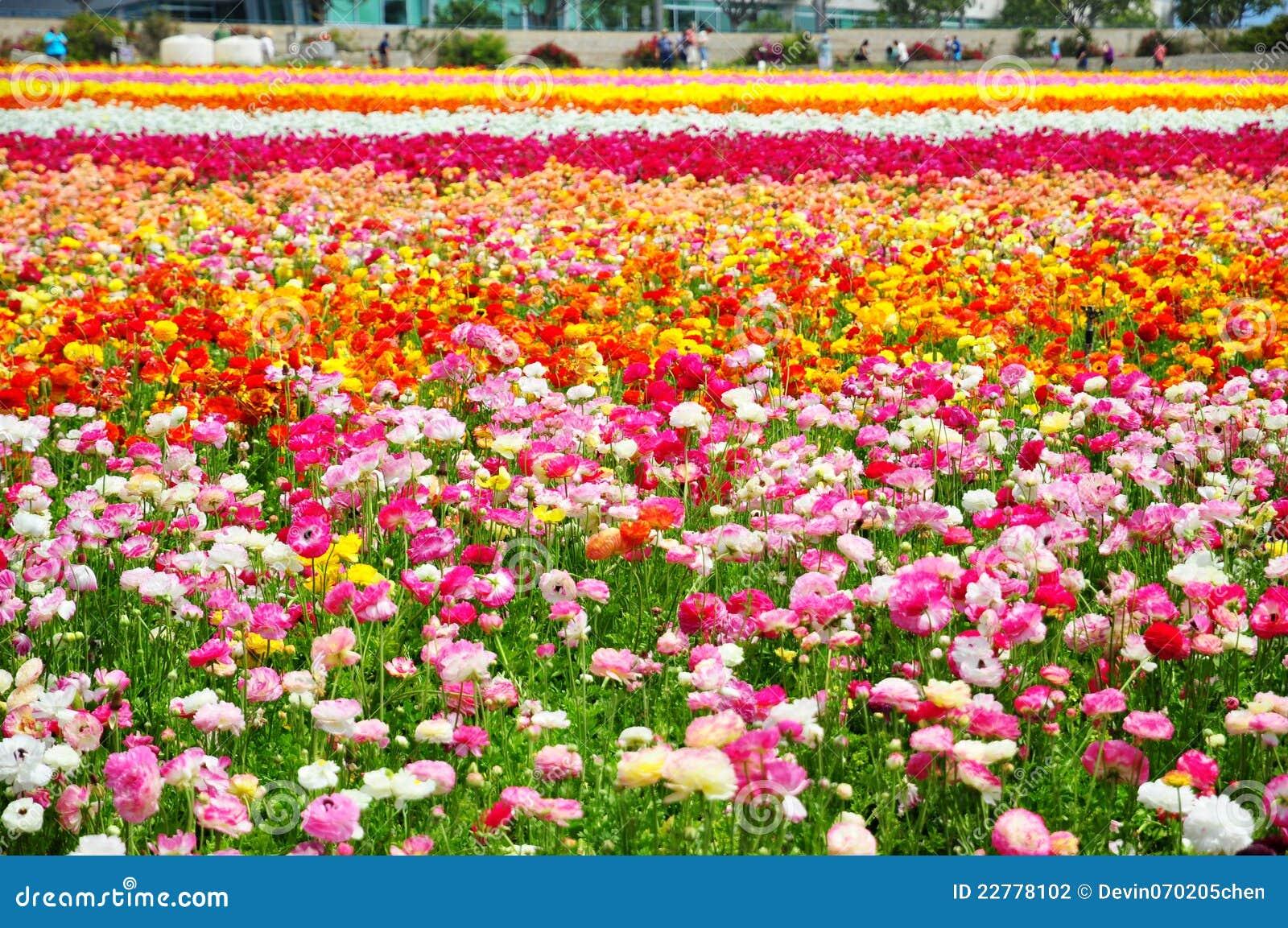 Carlsbad λουλούδι πεδίων