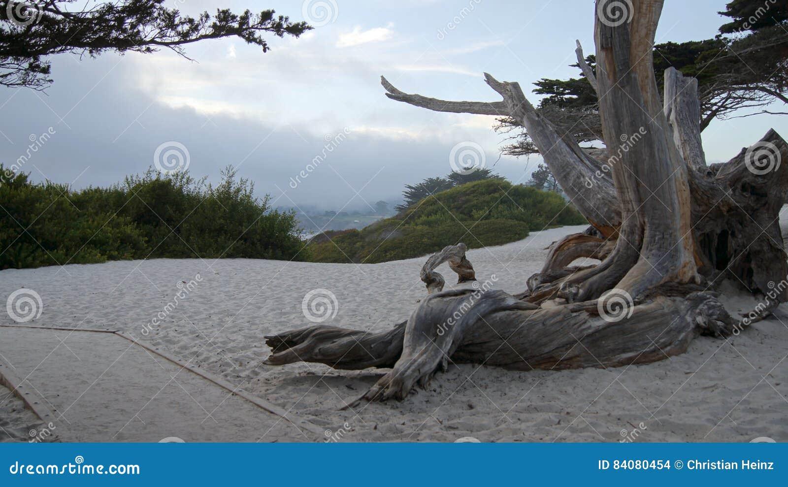 CARMEL, КАЛИФОРНИЯ, СОЕДИНЕННЫЕ ШТАТЫ - 7-ОЕ ОКТЯБРЯ 2014: Белый пляж с деревом и кипарис вдоль шоссе отсутствие 1, США