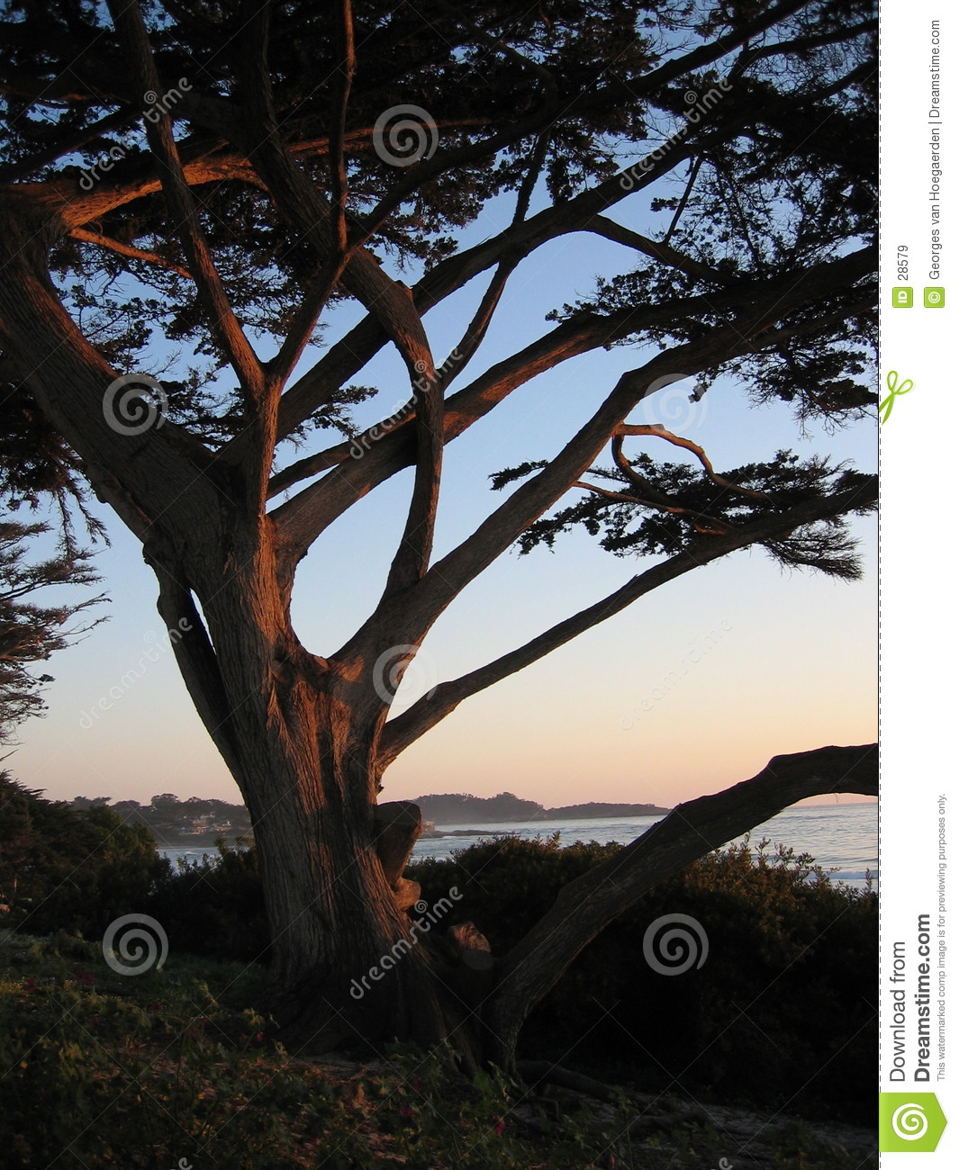 Carmel sunset tree
