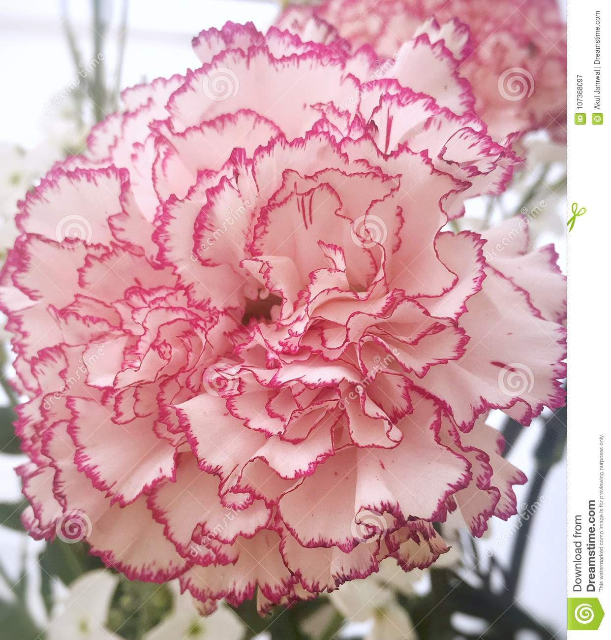 Carnation Flower Stock Image Image Of Blossom Plant 107368097