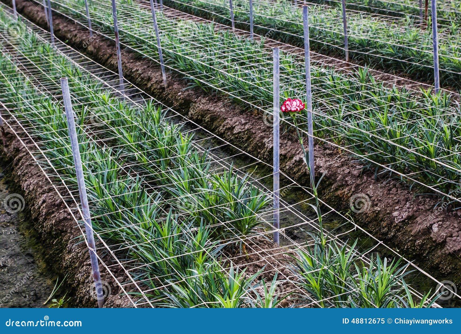 Carnation Planting Stock Image