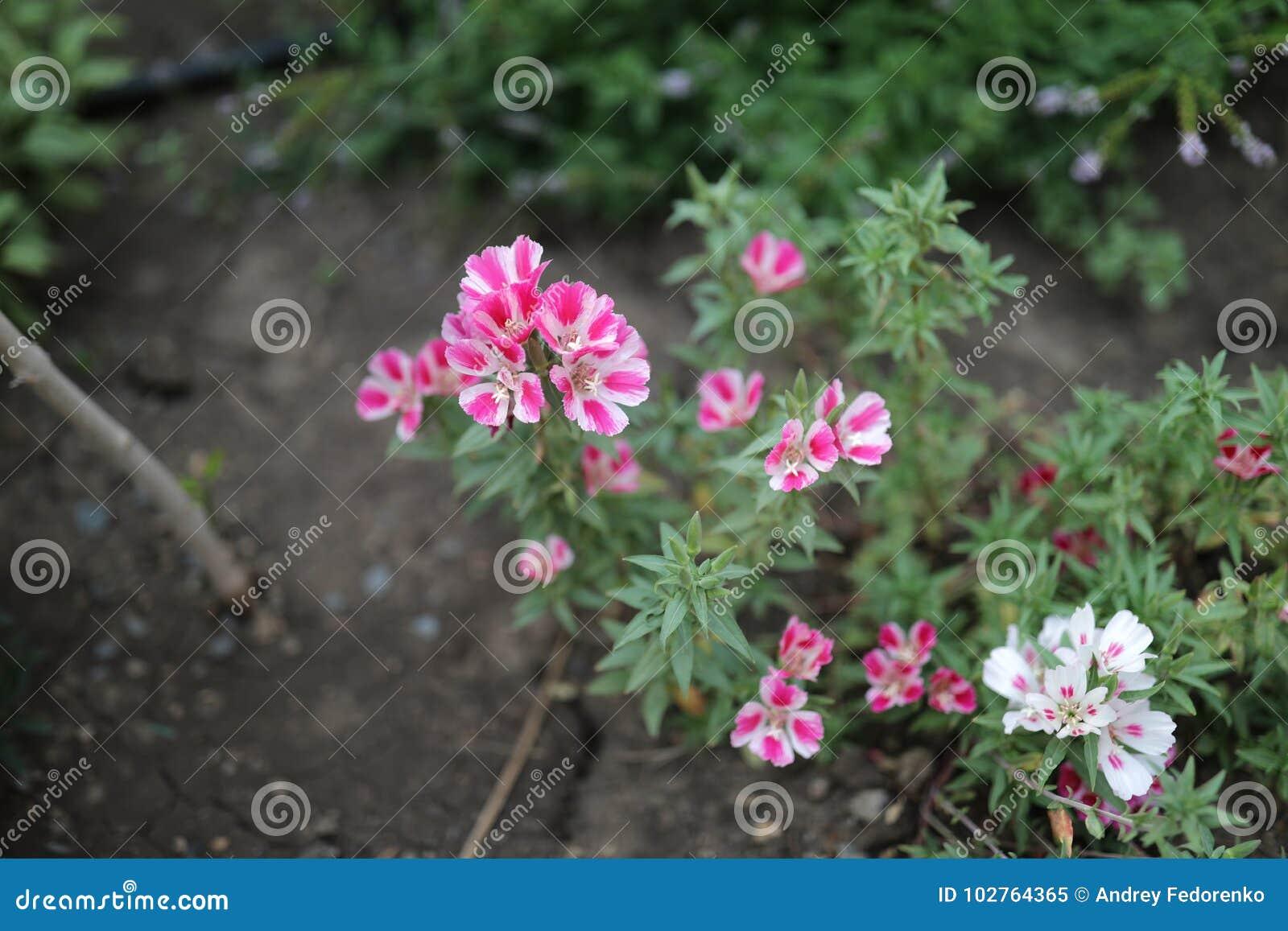 Carnation Stock Image Image Of Garden Love Decor 102764365