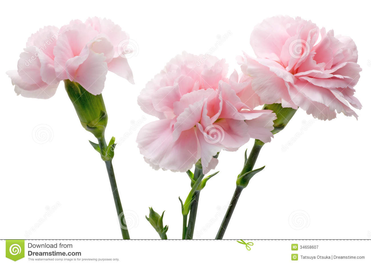 Carnation In A White Background Stock Image Image Of Pink