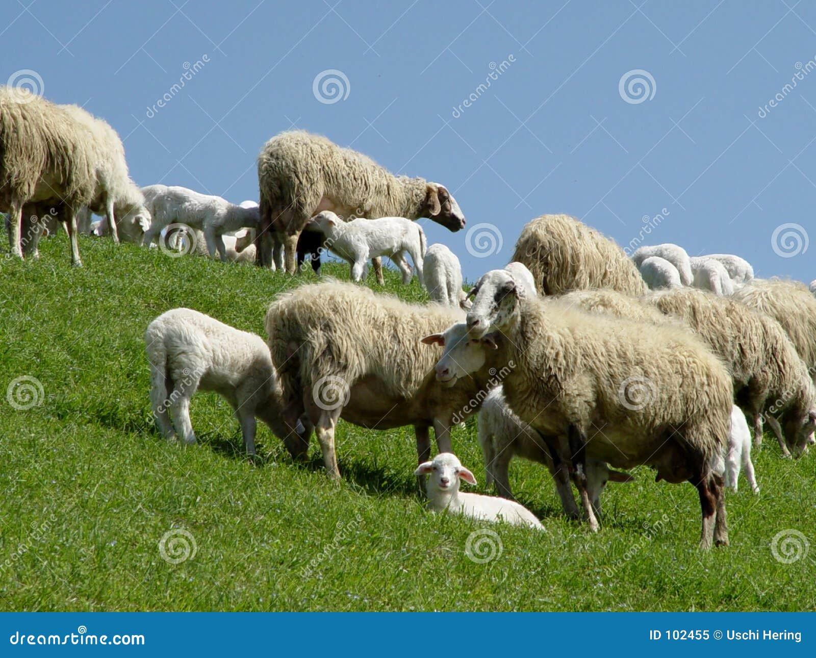 Carneiros com cordeiros