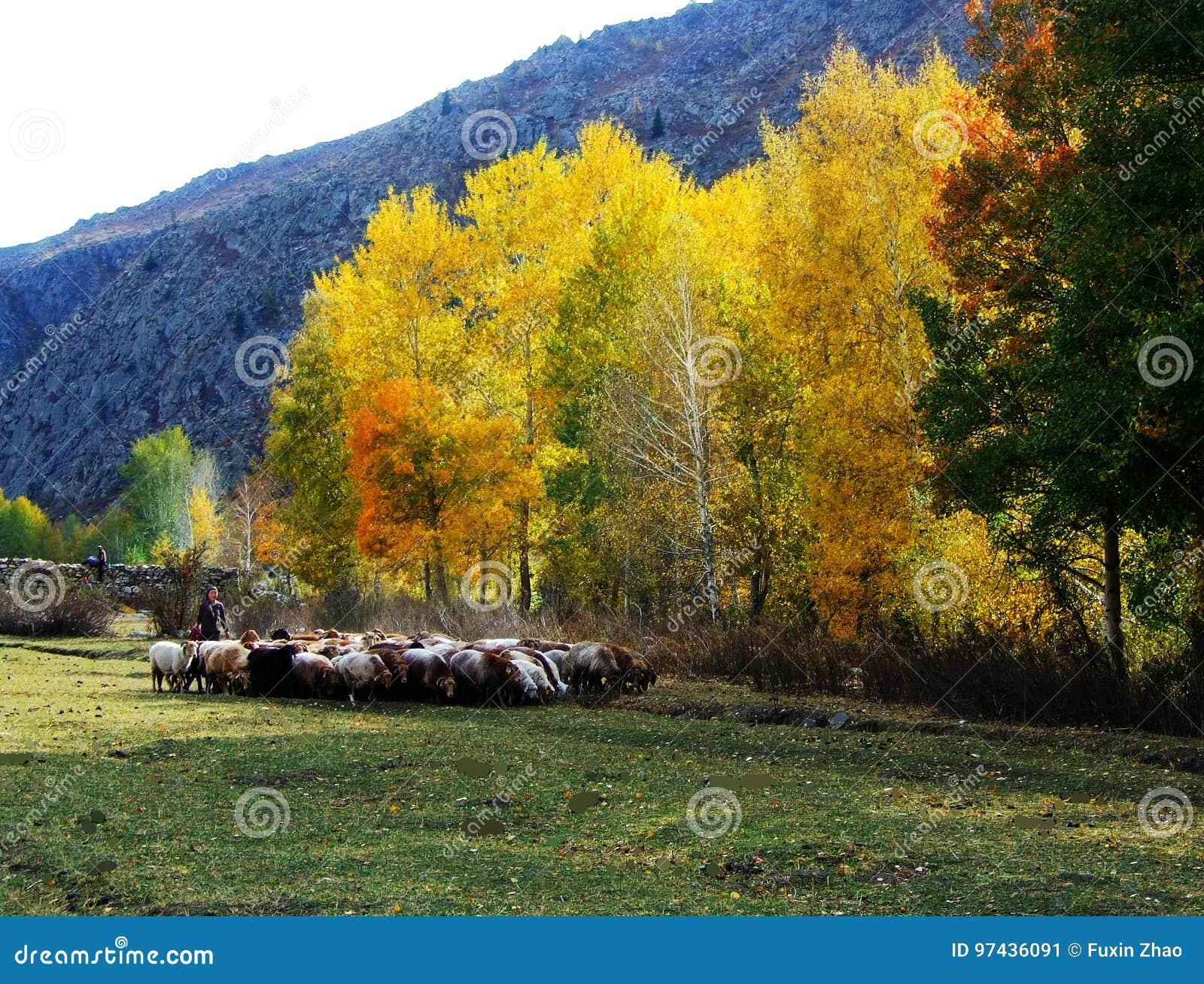 Carneiros da cunhada, explorações agrícolas pequenas, o vale, vidoeiro, cenário do donggou de Altay