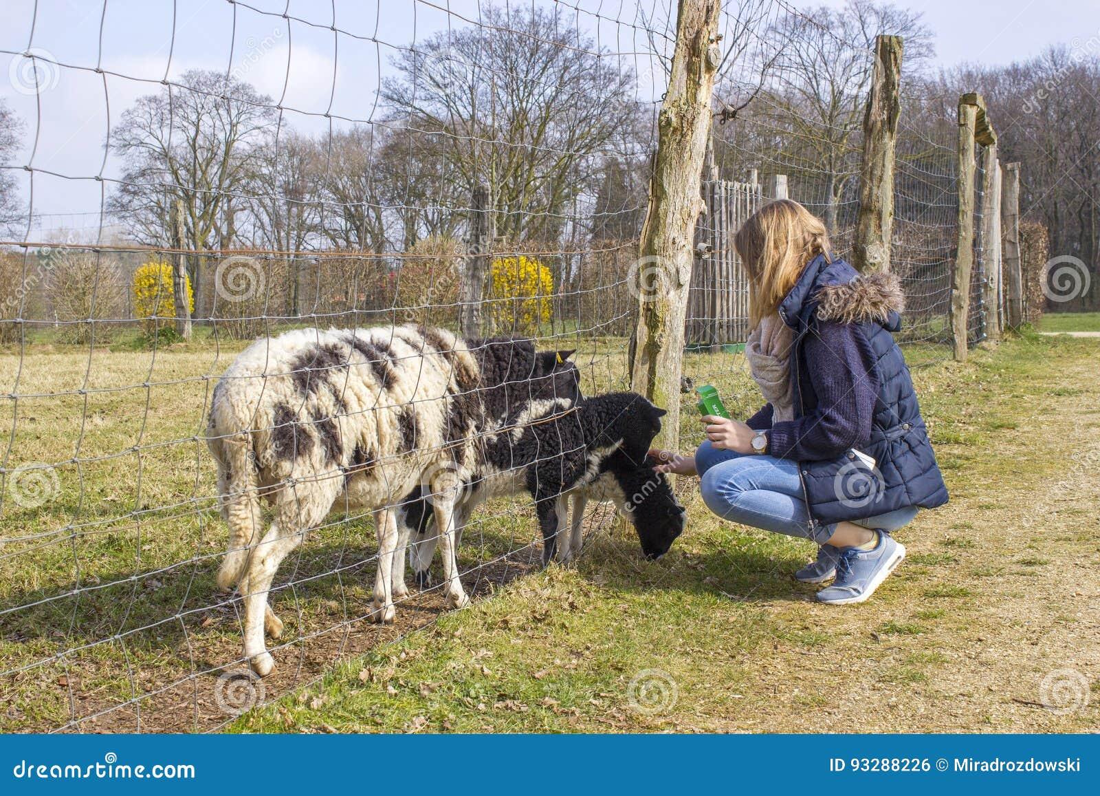 Carneiros de alimentação da moça no jardim zoológico