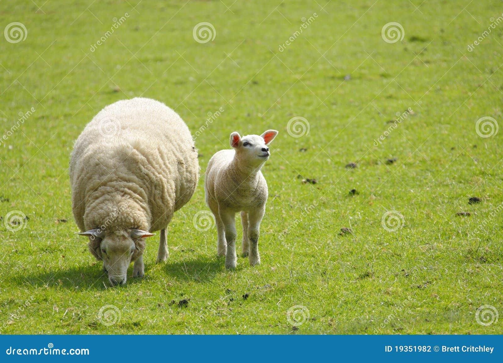 Carneiros do cordeiro e da ovelha