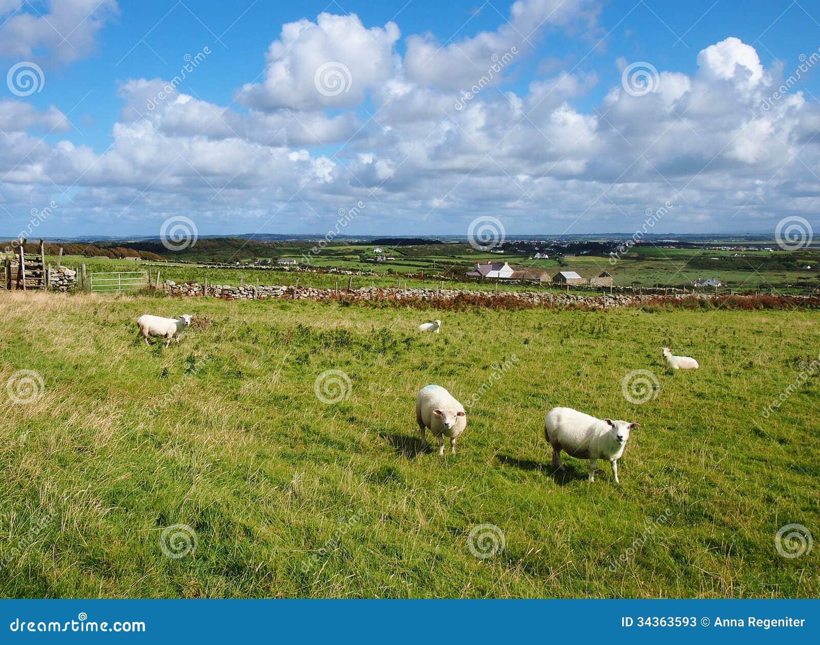Carneiros em Gales