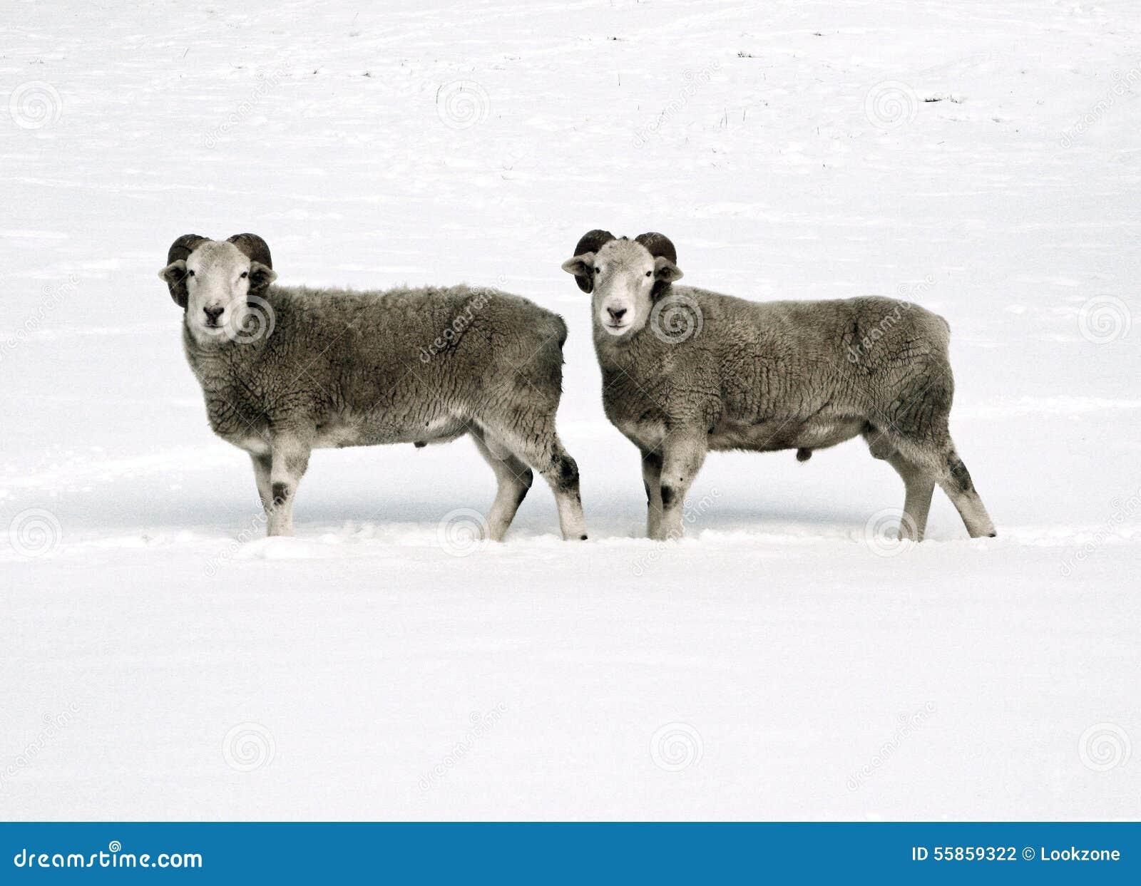 Carneiros gêmeos