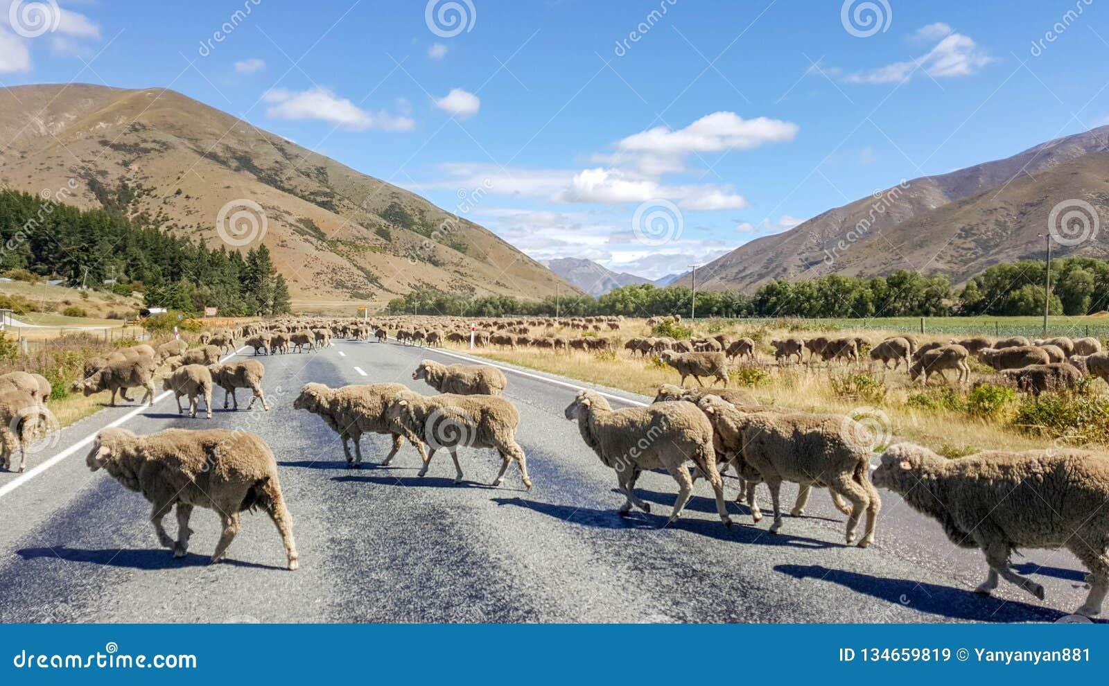 Carneiros que cruzam a estrada na estrada de Nova Zelândia