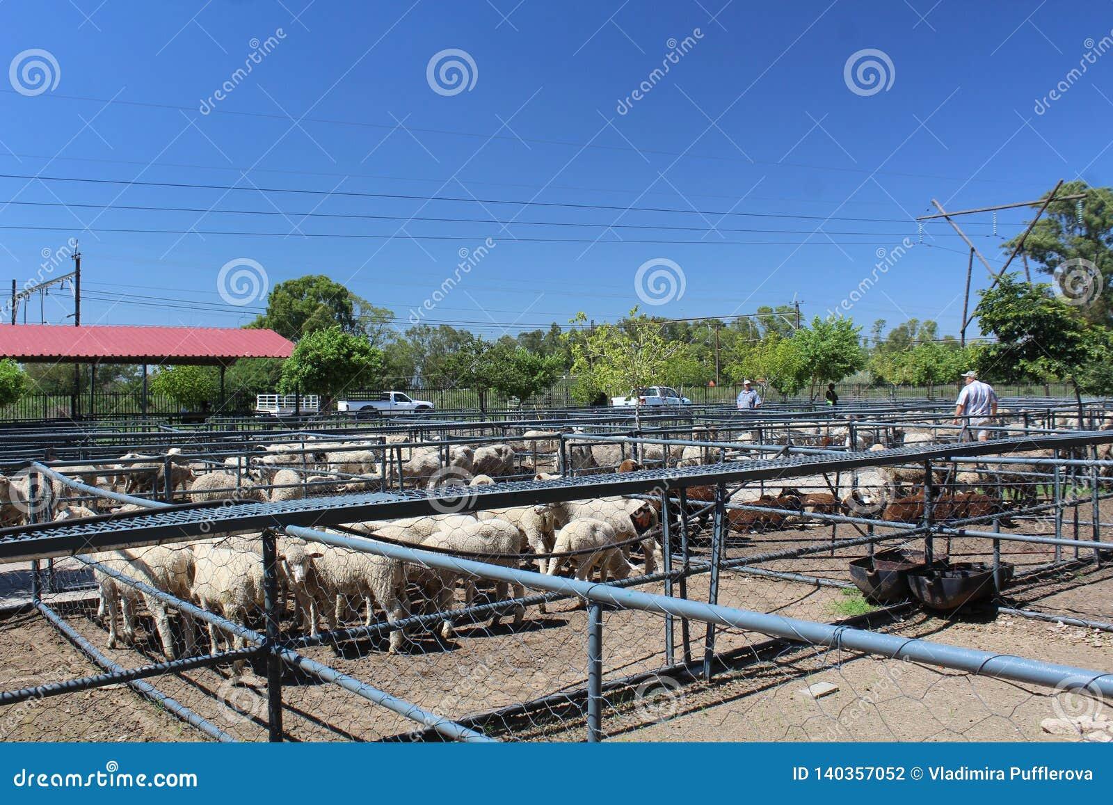 Carneiros que esperam nos cercos em um leilão dos rebanhos animais em Bloemfontein, África do Sul