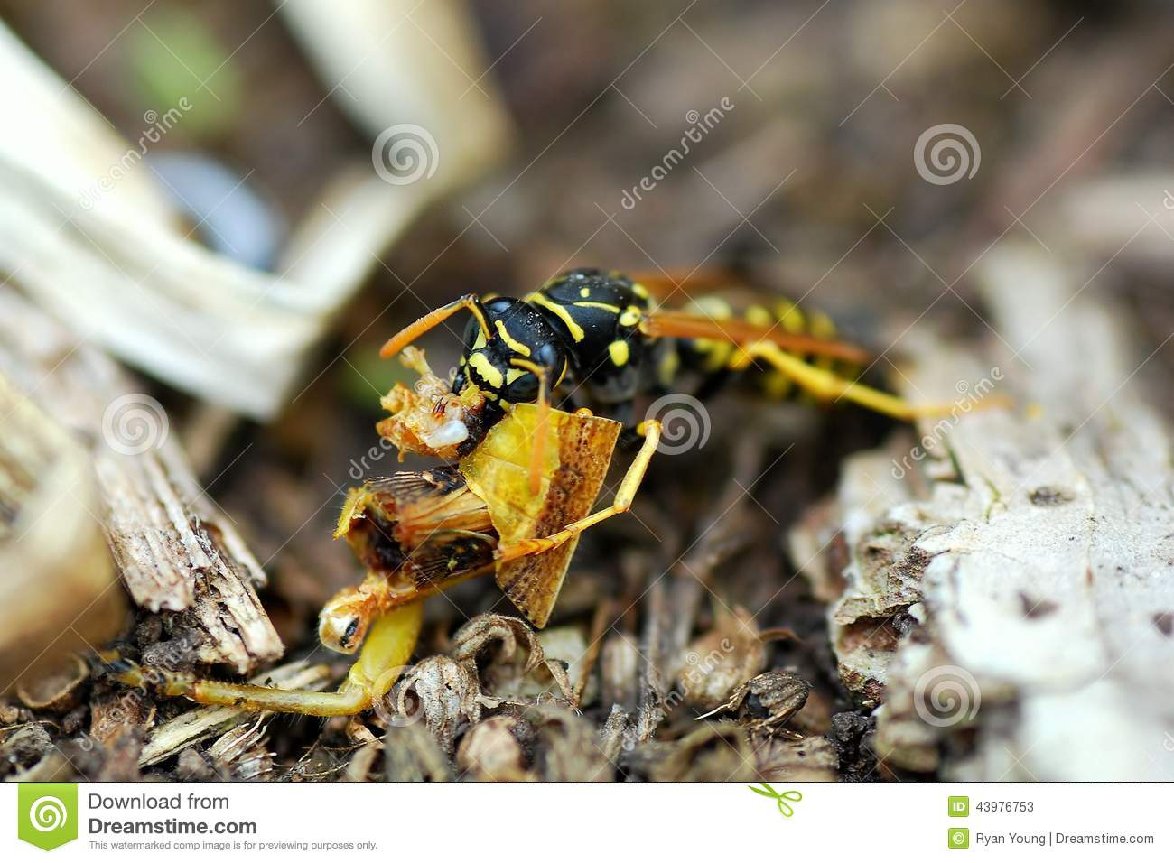 A Carnivore Wasp Munches On Remains Of A Grasshopper Stock Image ...