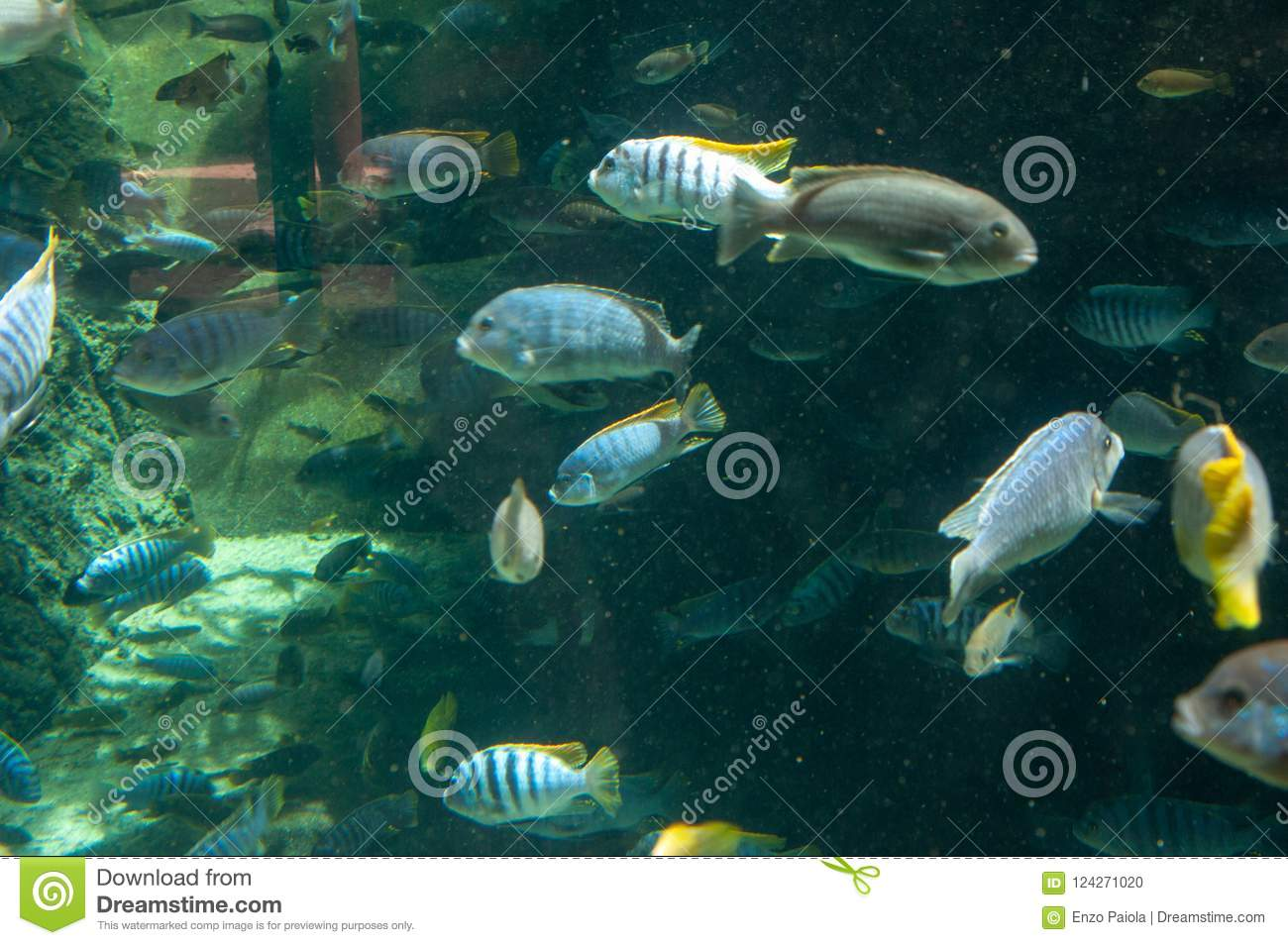 While The Banded Archer Fish Or Archerfish May Look Like An Ordinary