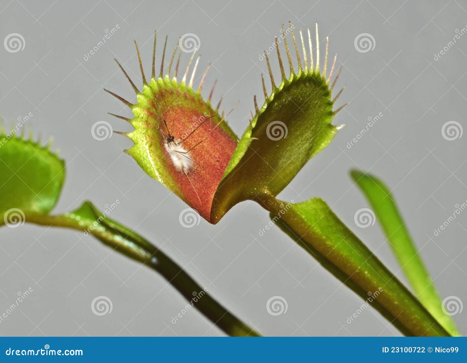 Carnivorous växt
