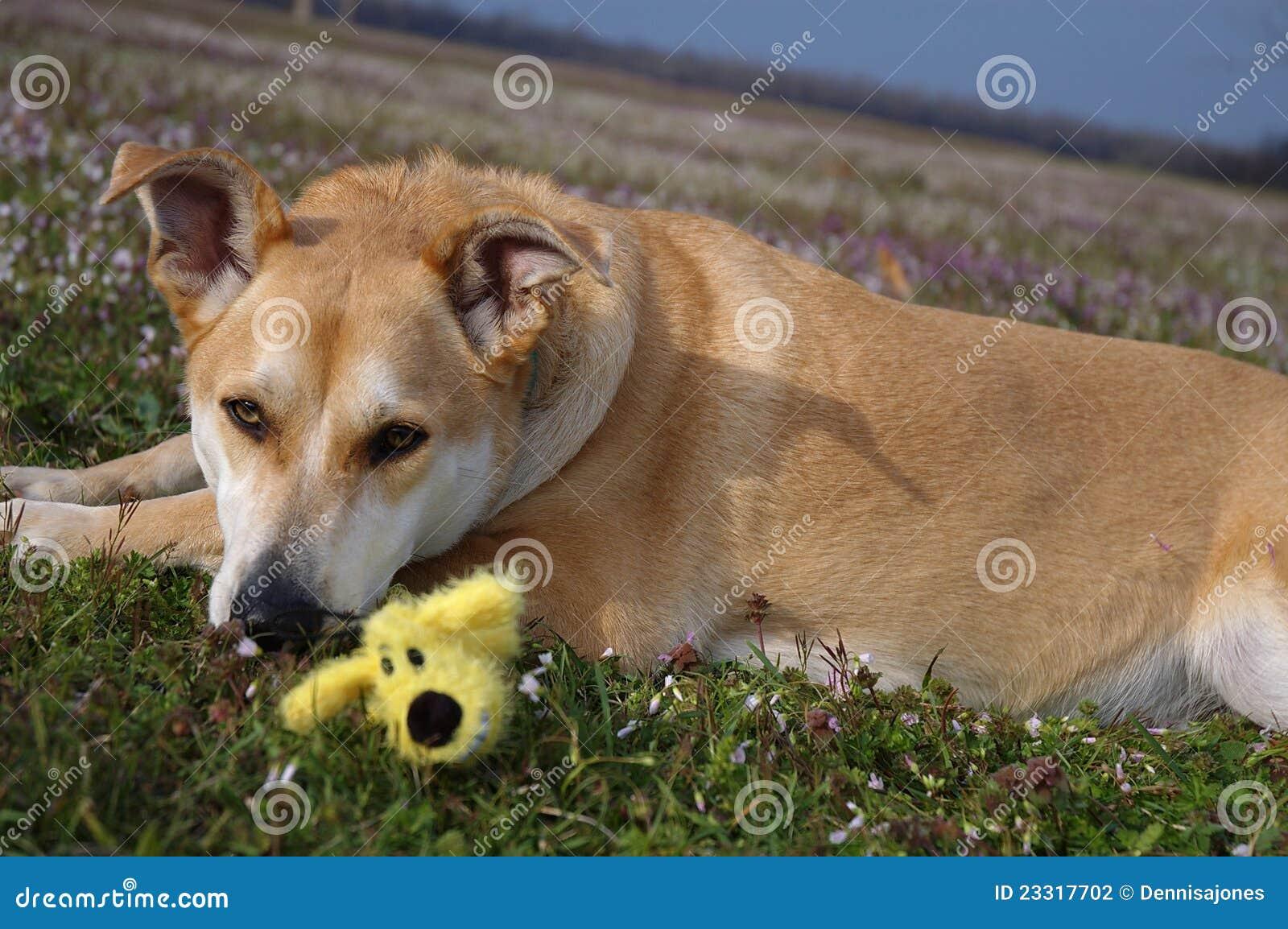 Carolina Dog Portrait In Meadow Stock Photography Image
