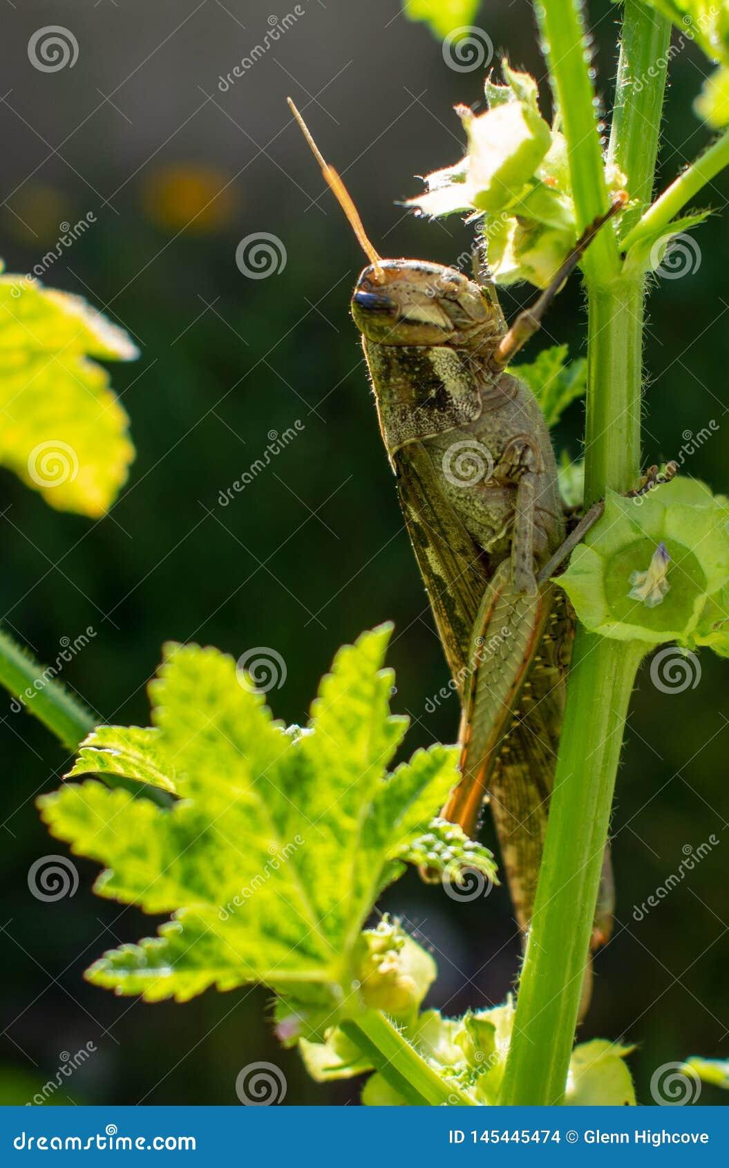 Carolina Grasshopper på växten som äter sidor