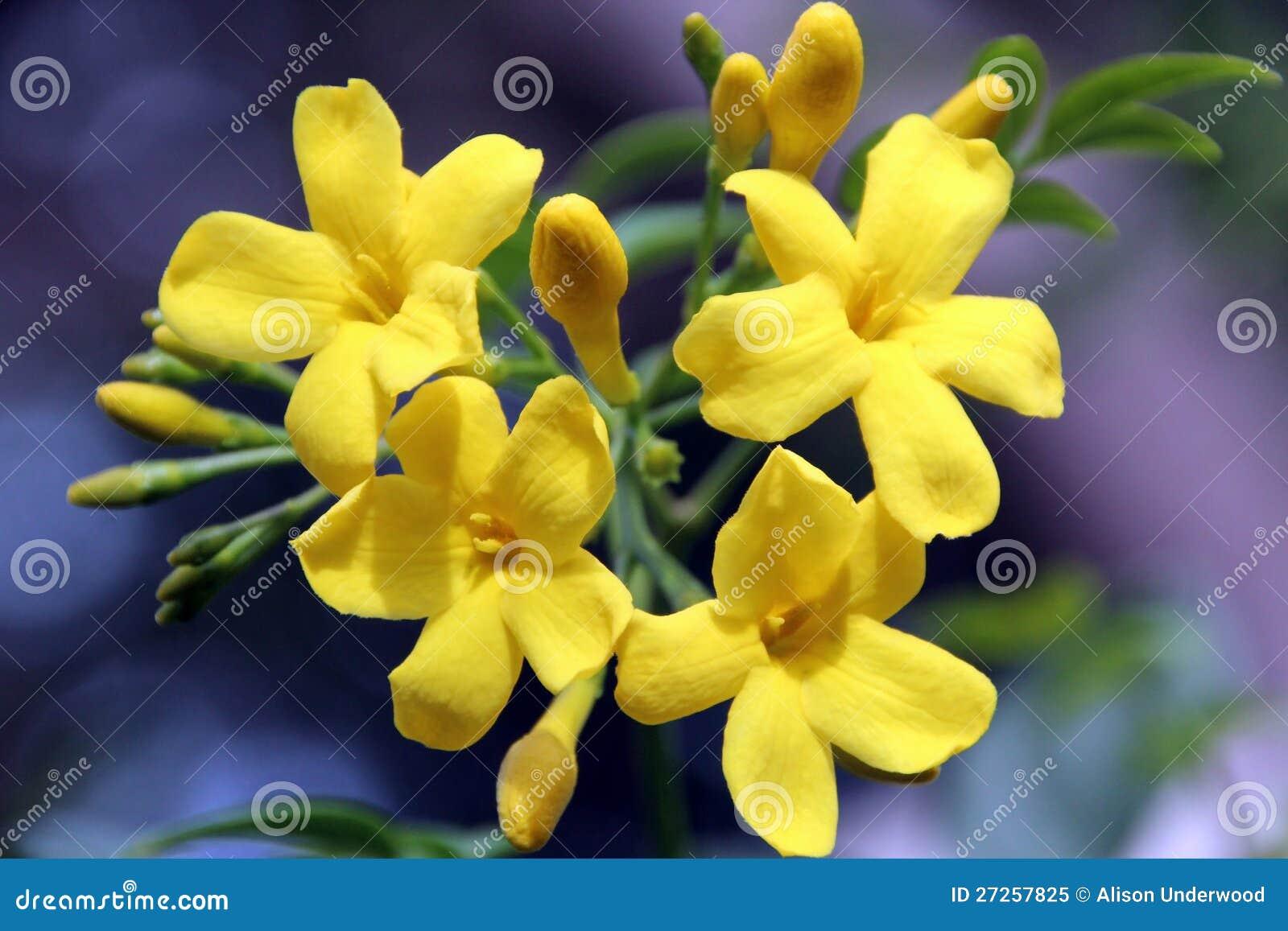 Carolina Yellow Jasmine Flowers Stock Image Image Of Buds Cluster