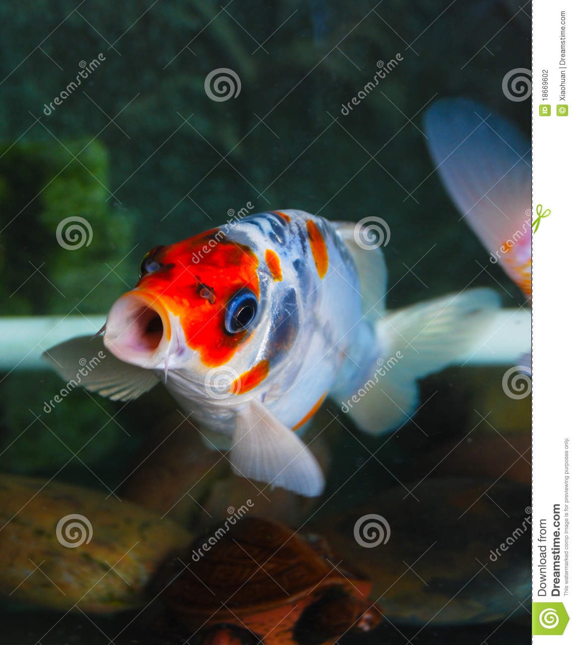 Carp stock photography image 18669602 for Carp in a fish tank