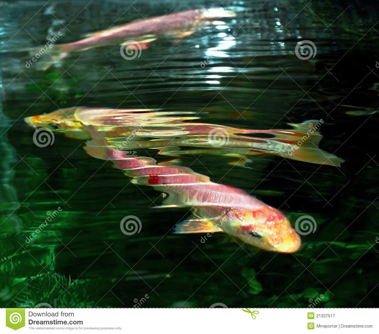 Carp royalty free stock photography image 21337517 for Carp pond design