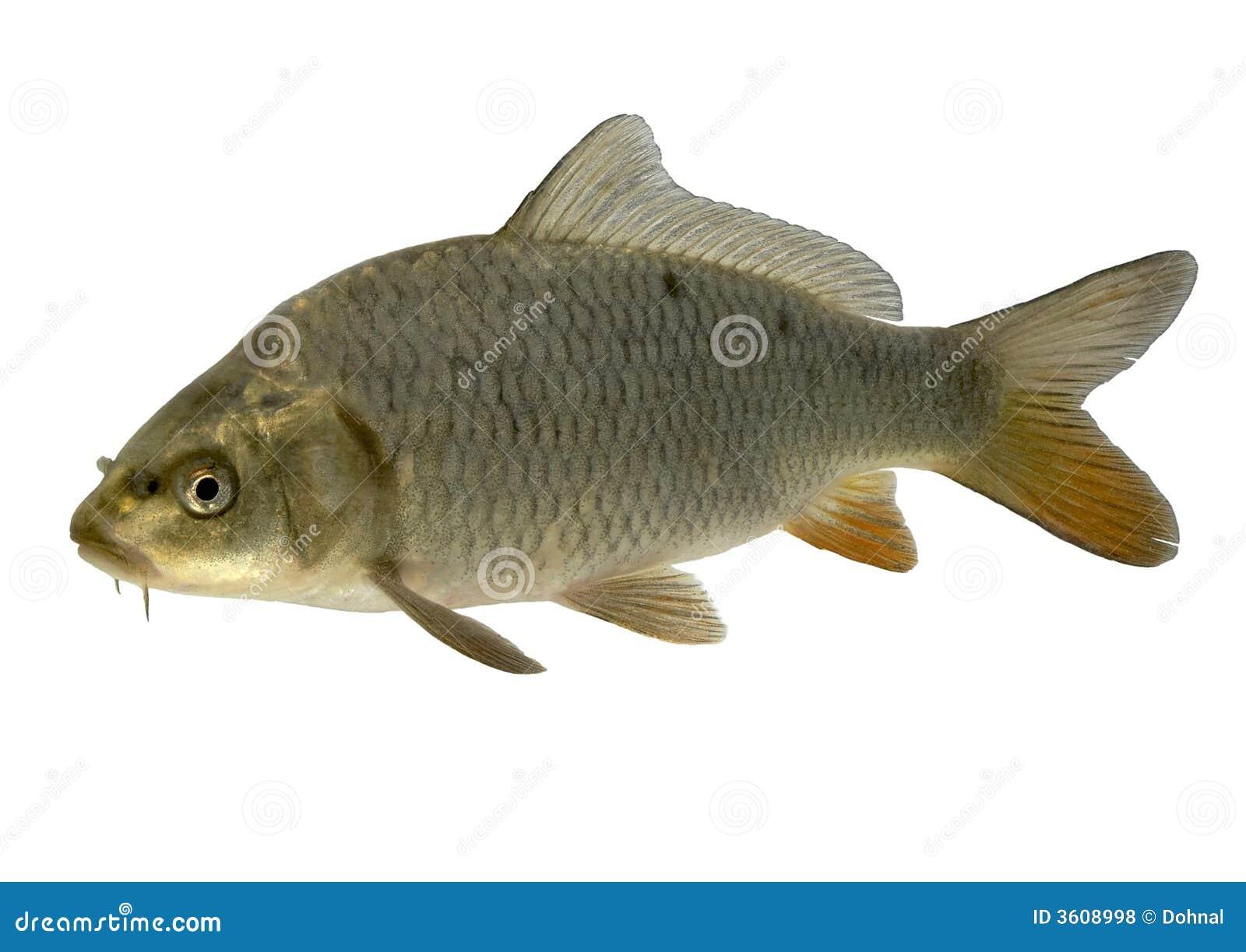 Carp royalty free stock photos image 3608998 for Koi fish head