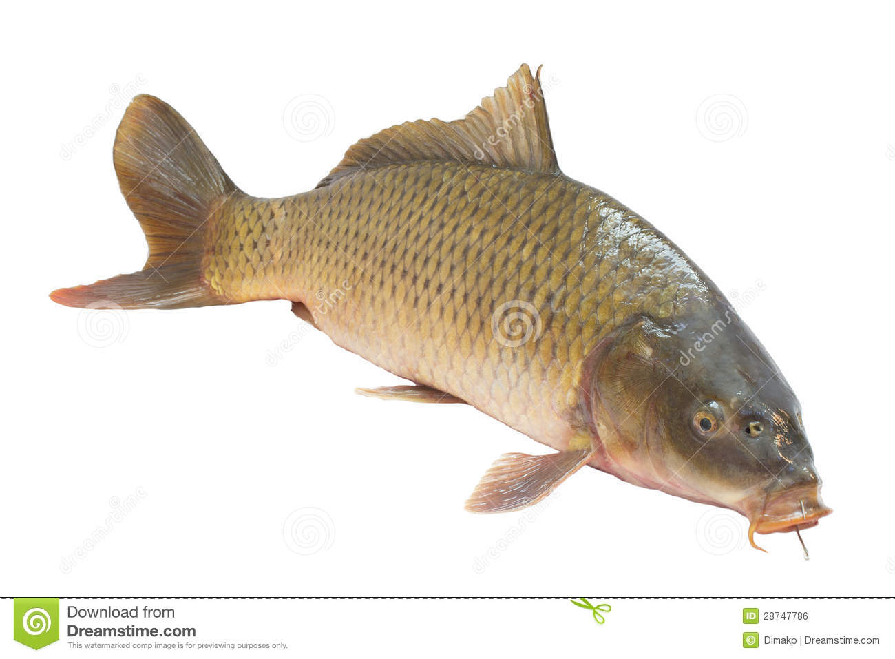 Carp fish royalty free stock image image 28747786 for Image of fish