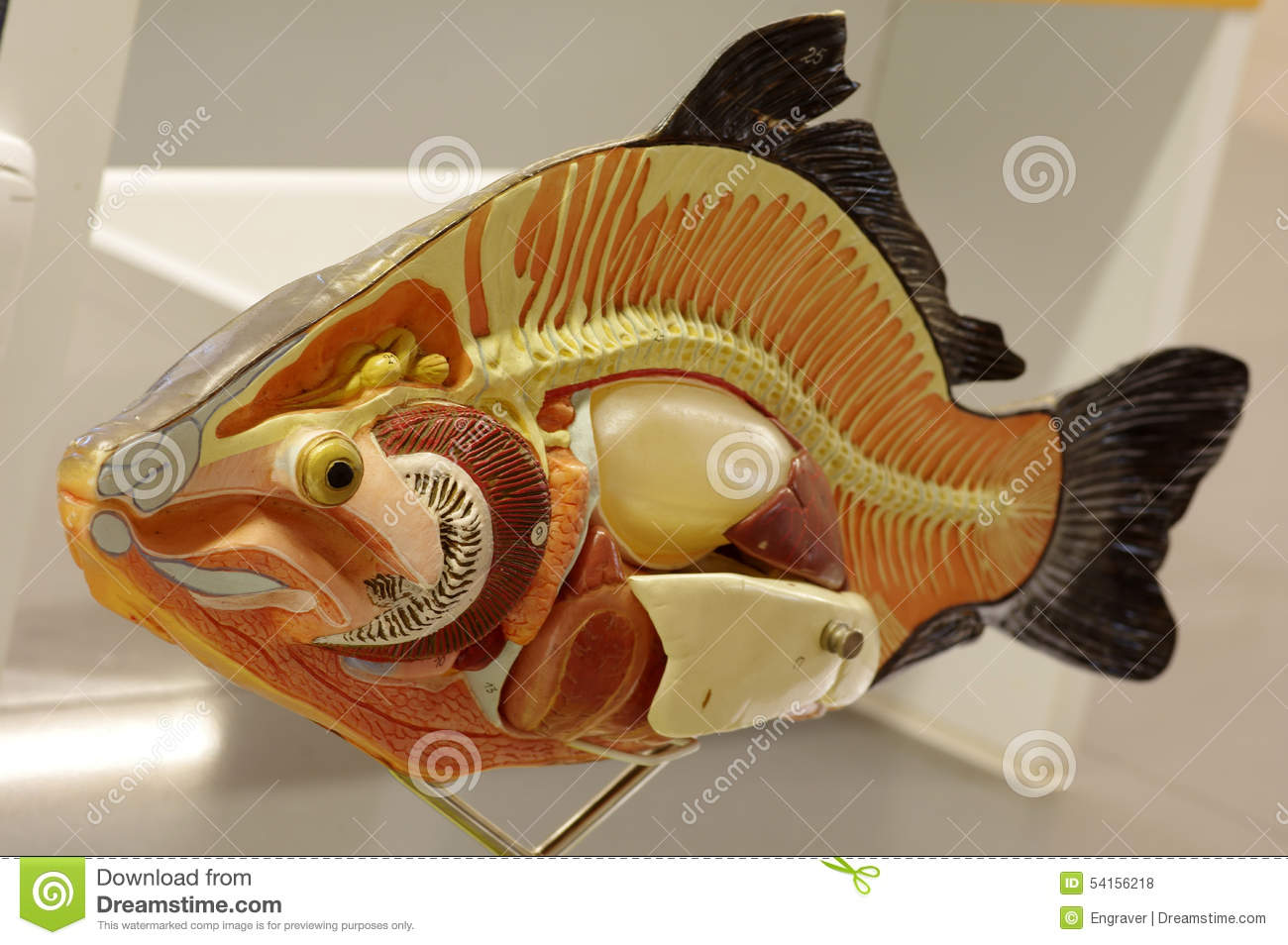 Carp fish animals anatomy stock photo. Image of carp ...