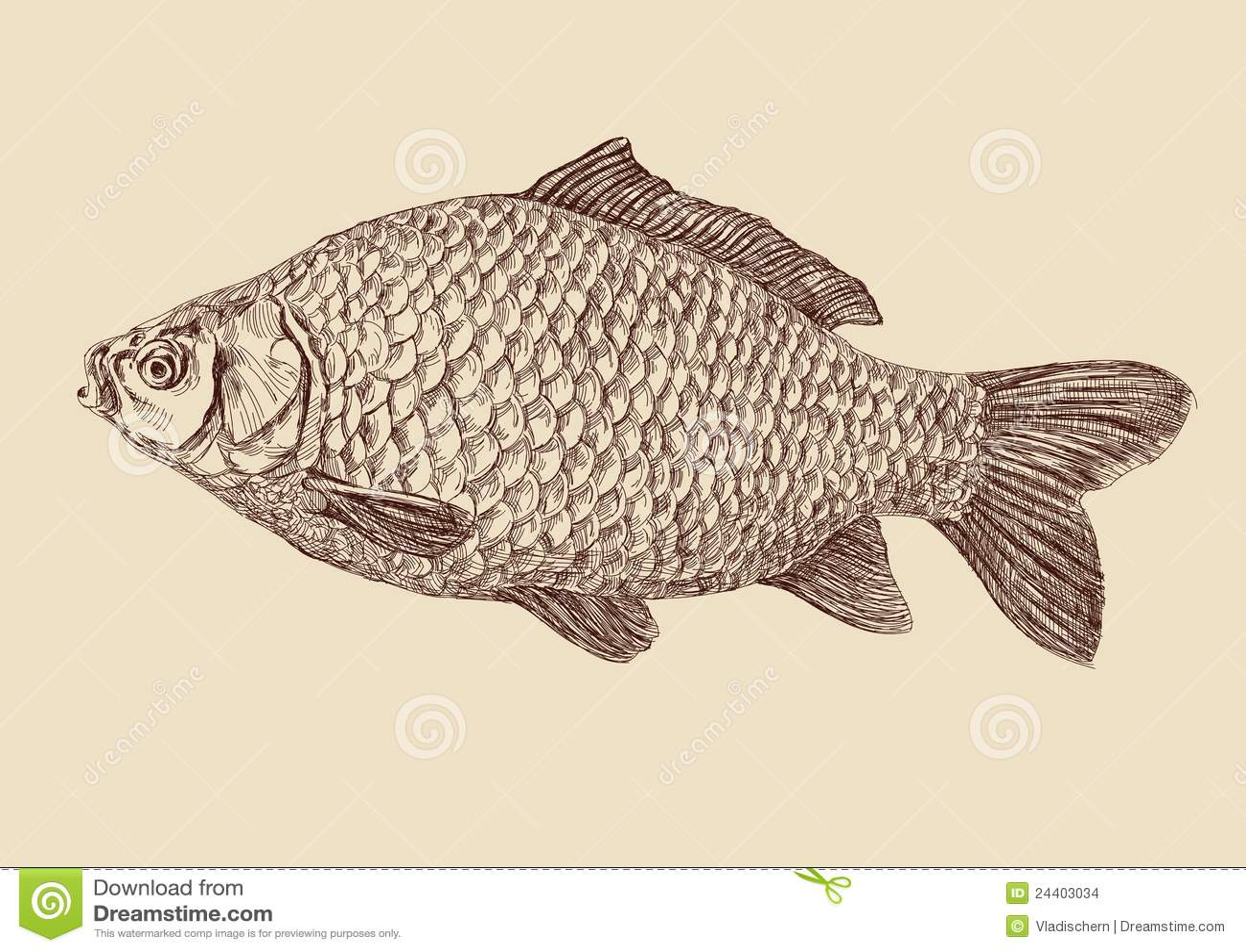 Carp Fish Drawing Vector Illustration Stock Vector Image