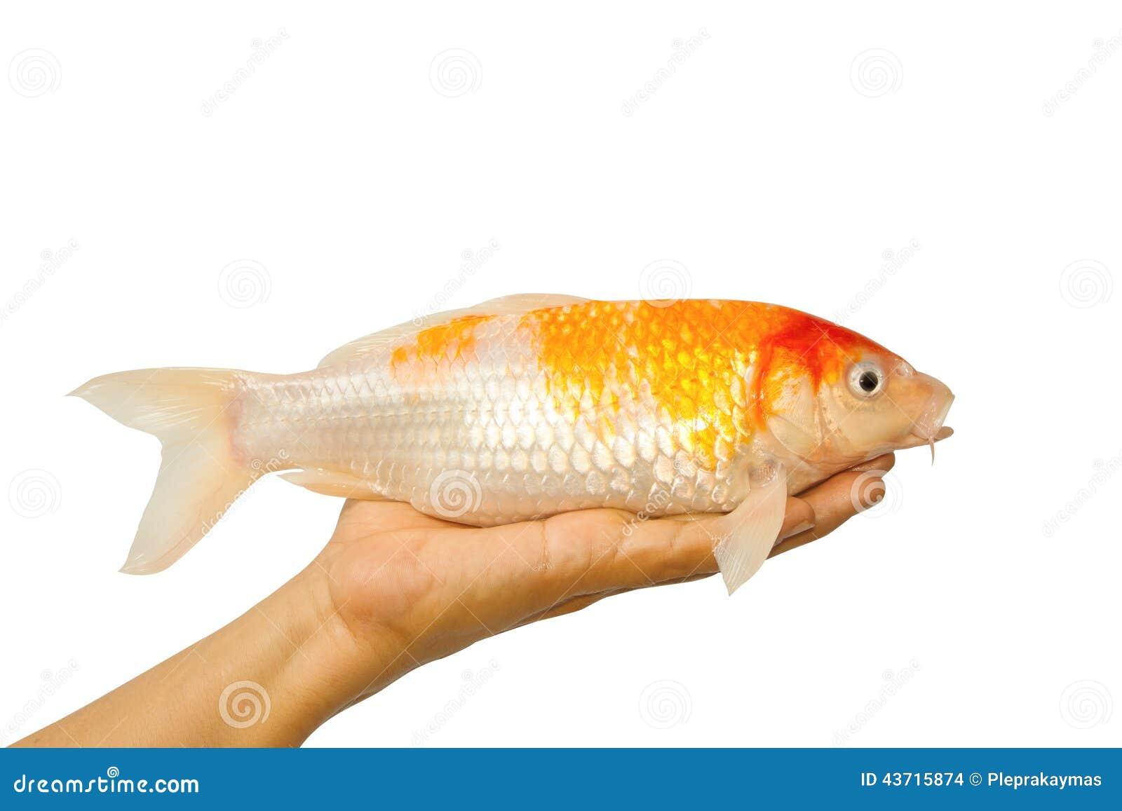 Carp fish koi fish on hand stock photo image 43715874 for Koi and carp