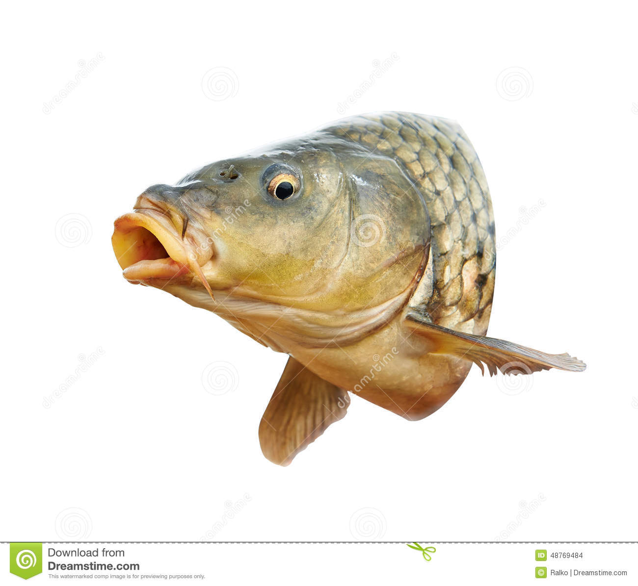 Carp fish with mouth open stock photo image of river for Carp fish pictures