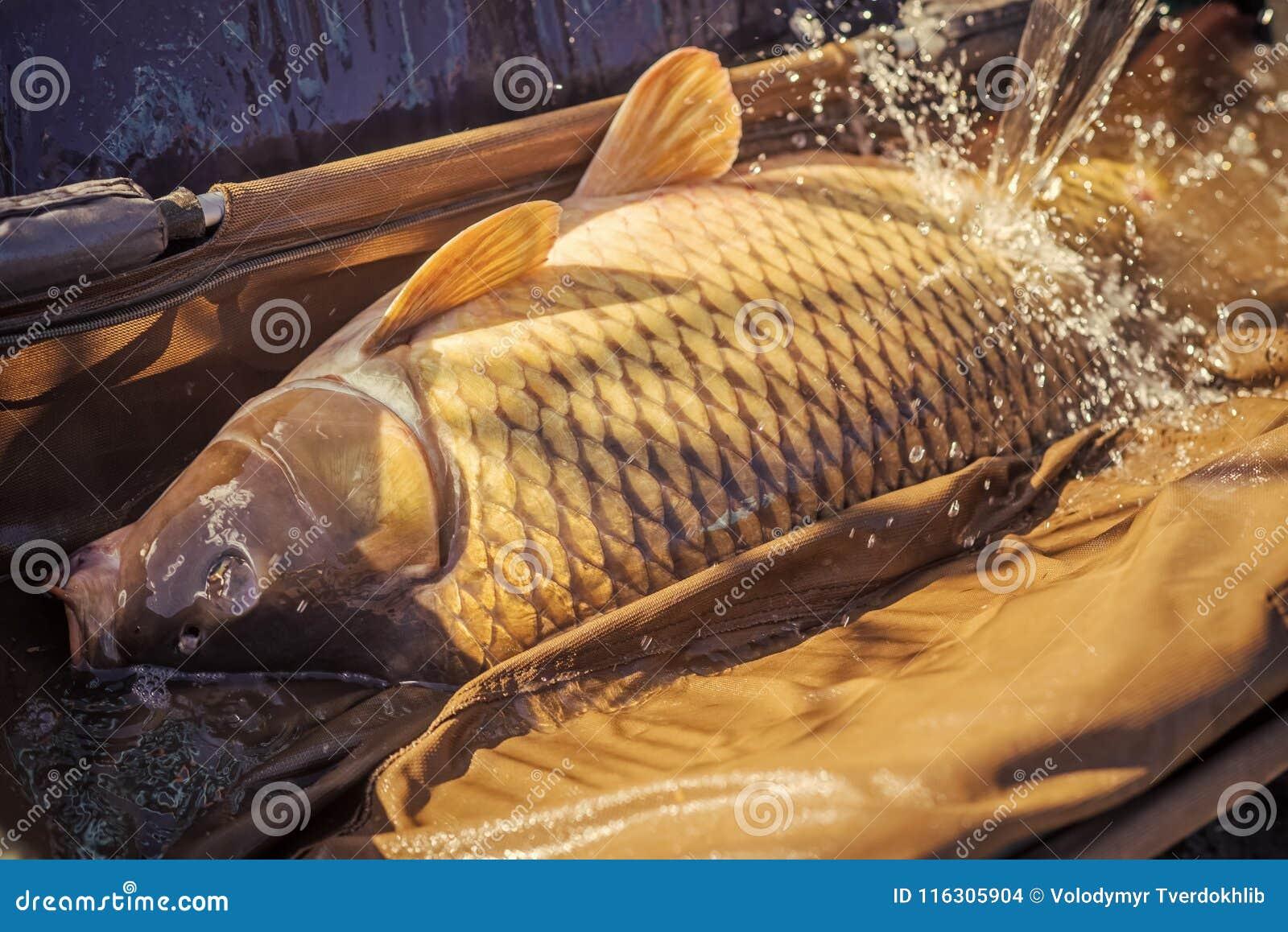 Carp fishing, angling, fish catching, capture