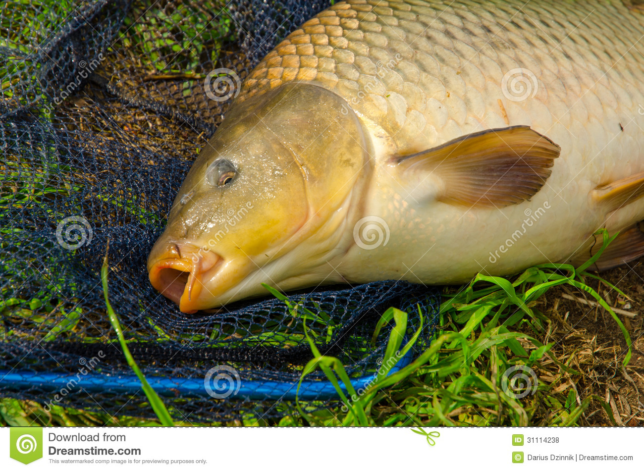 Carp royalty free stock photos image 31114238 for Freshwater fish to eat