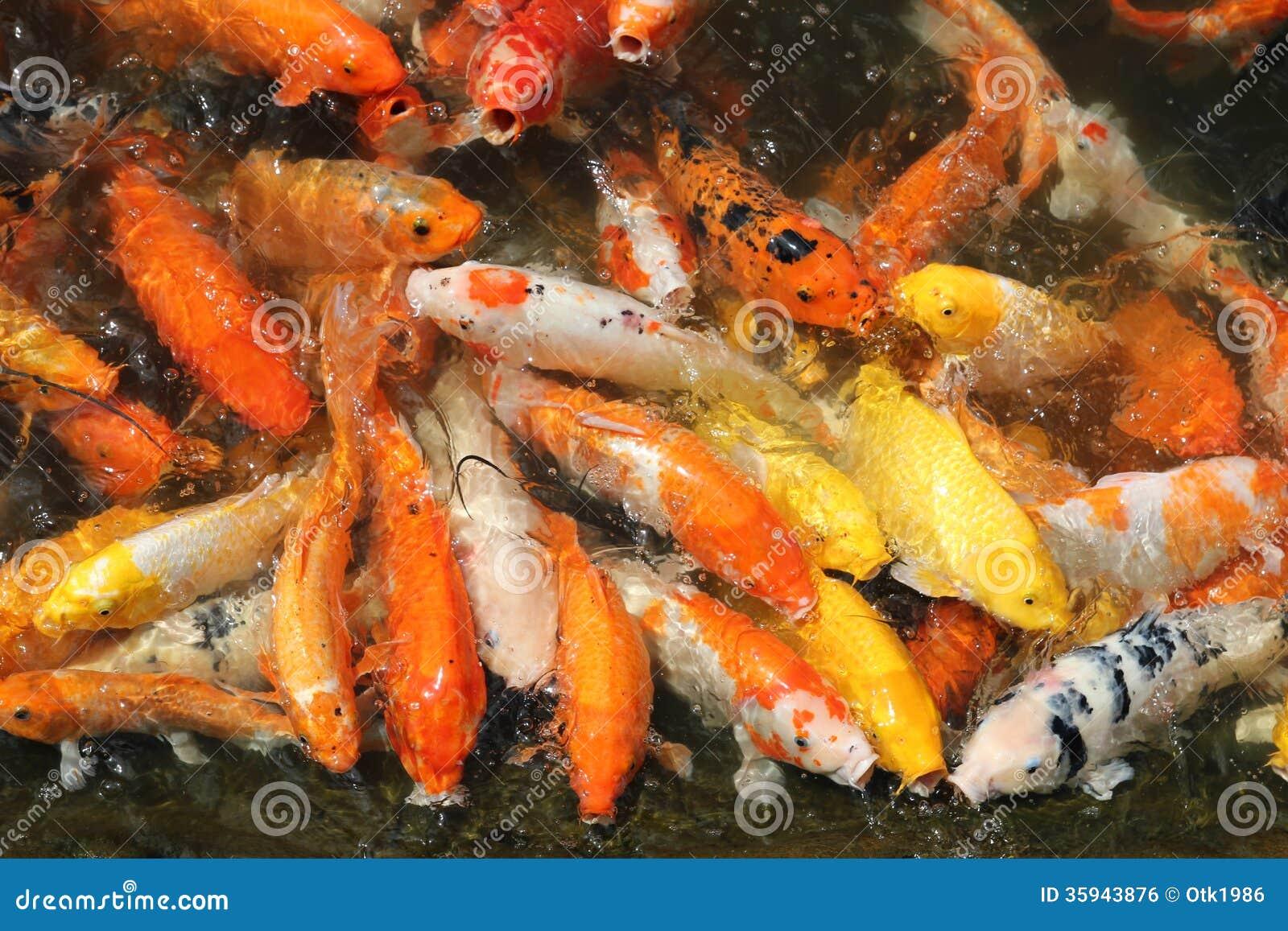 Carp koi royalty free stock image image 35943876 for Fraie carpe koi