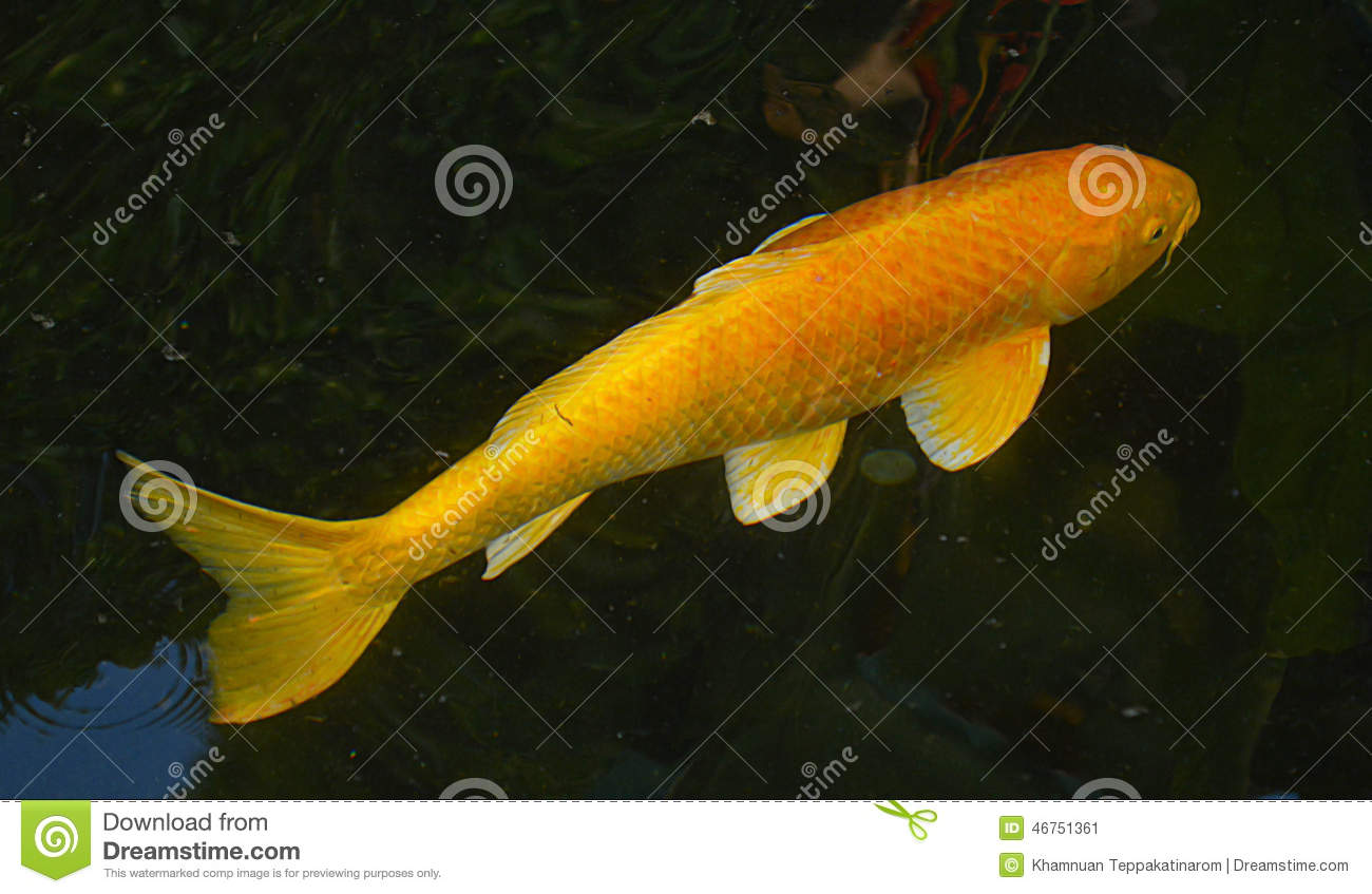 Carp Or Koi Fish Stock Photo Image 46751361