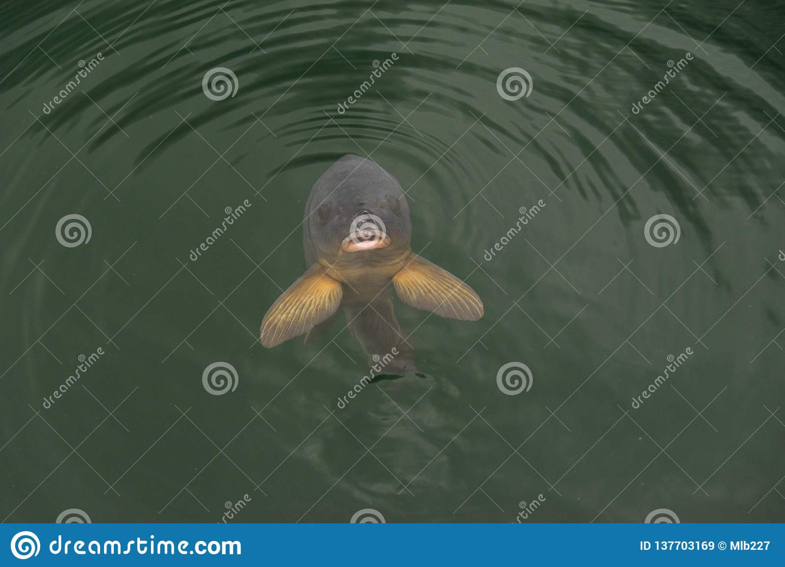 A lonely carp coming up to say hello