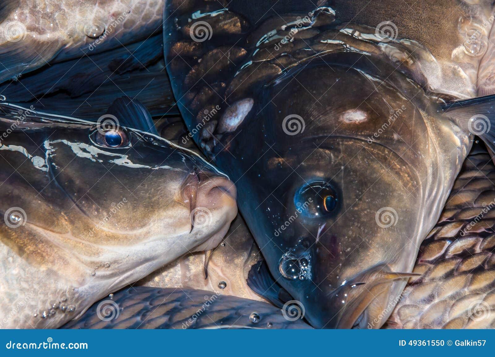 Carp live stock photo image 49361550 for Carp fish for sale