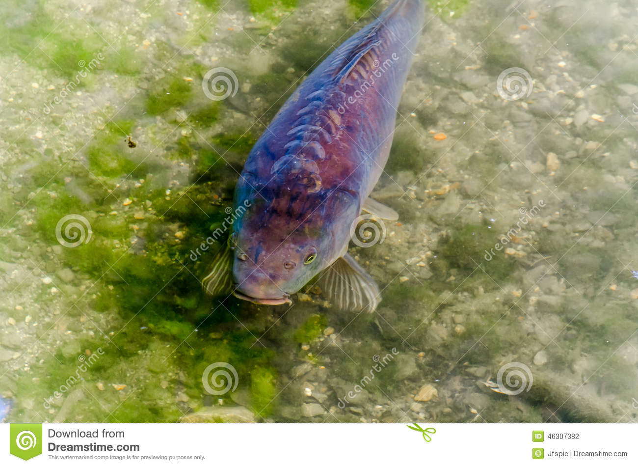 Carp pond fish koy stock photo image 46307382 for Carp fish pond