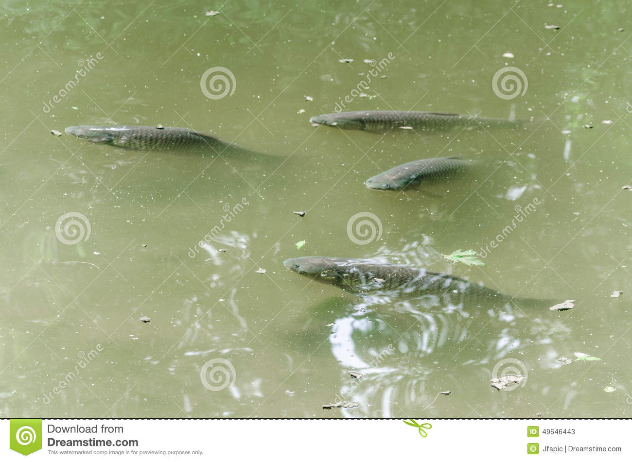 Carp pond fish koy stock photo image 49646443 for Carp fish pond