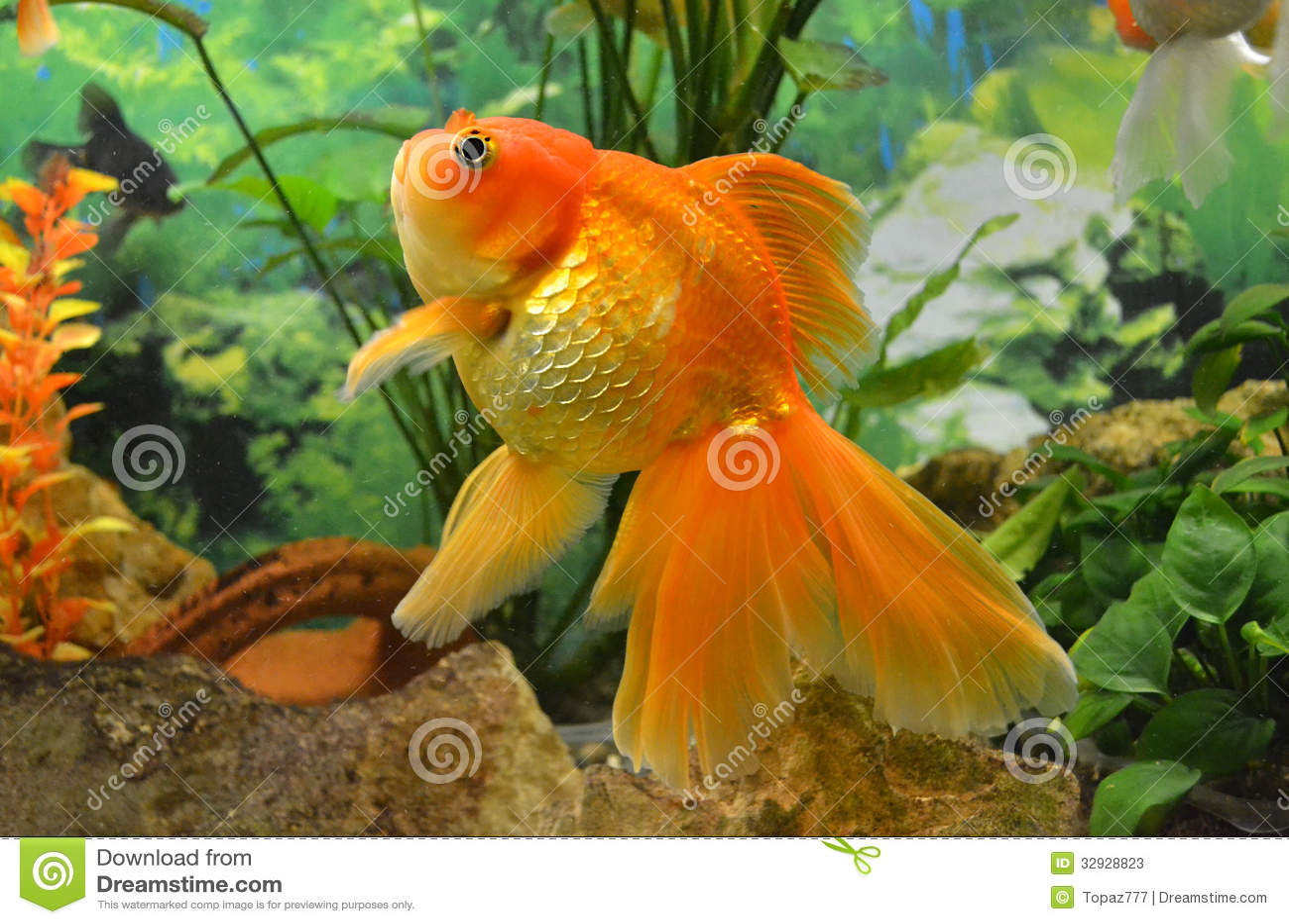 carpa del pesce rosso dell 39 acquario immagine stock